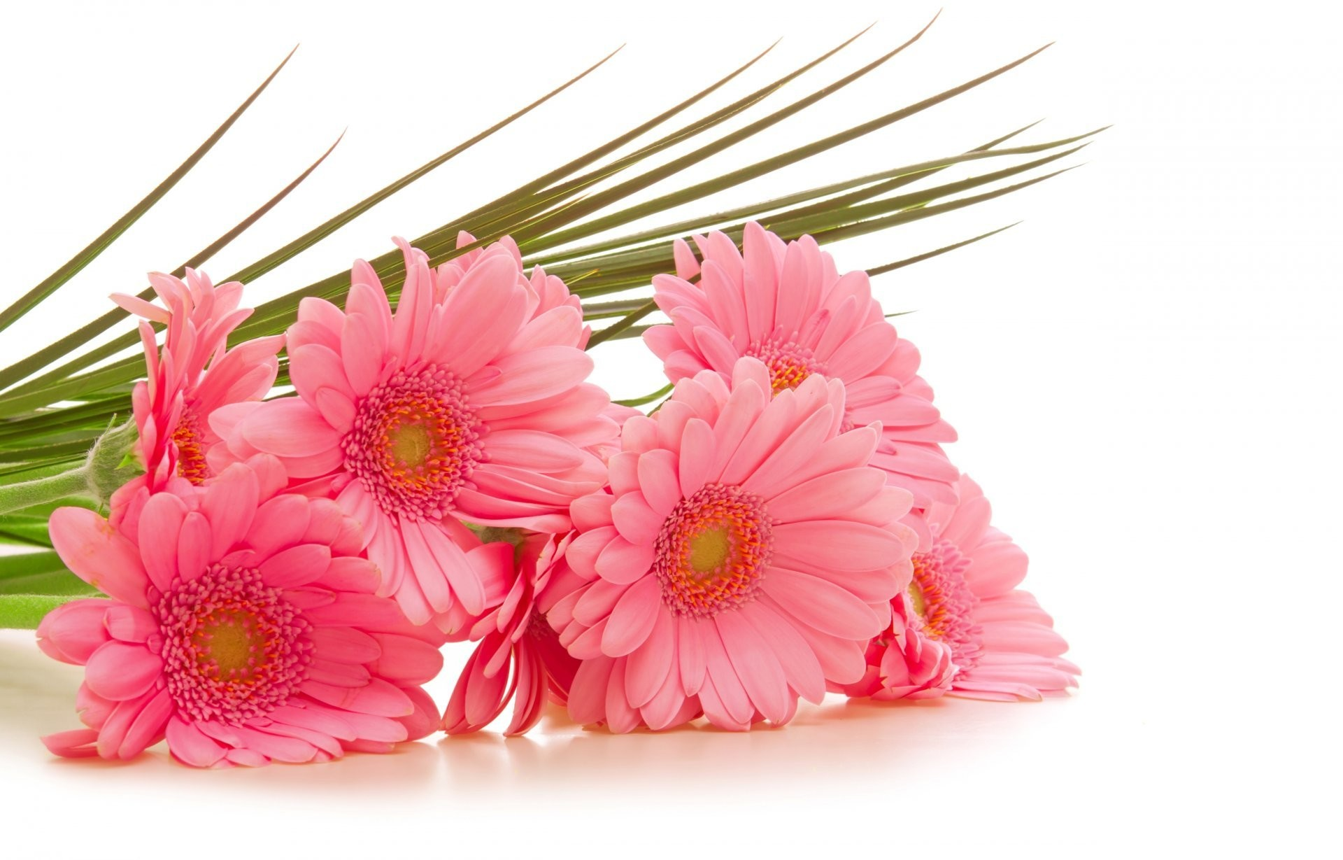 Pink flower white background 39 pictures gerbera gerbera pink flower white background 1920x1229 mightylinksfo