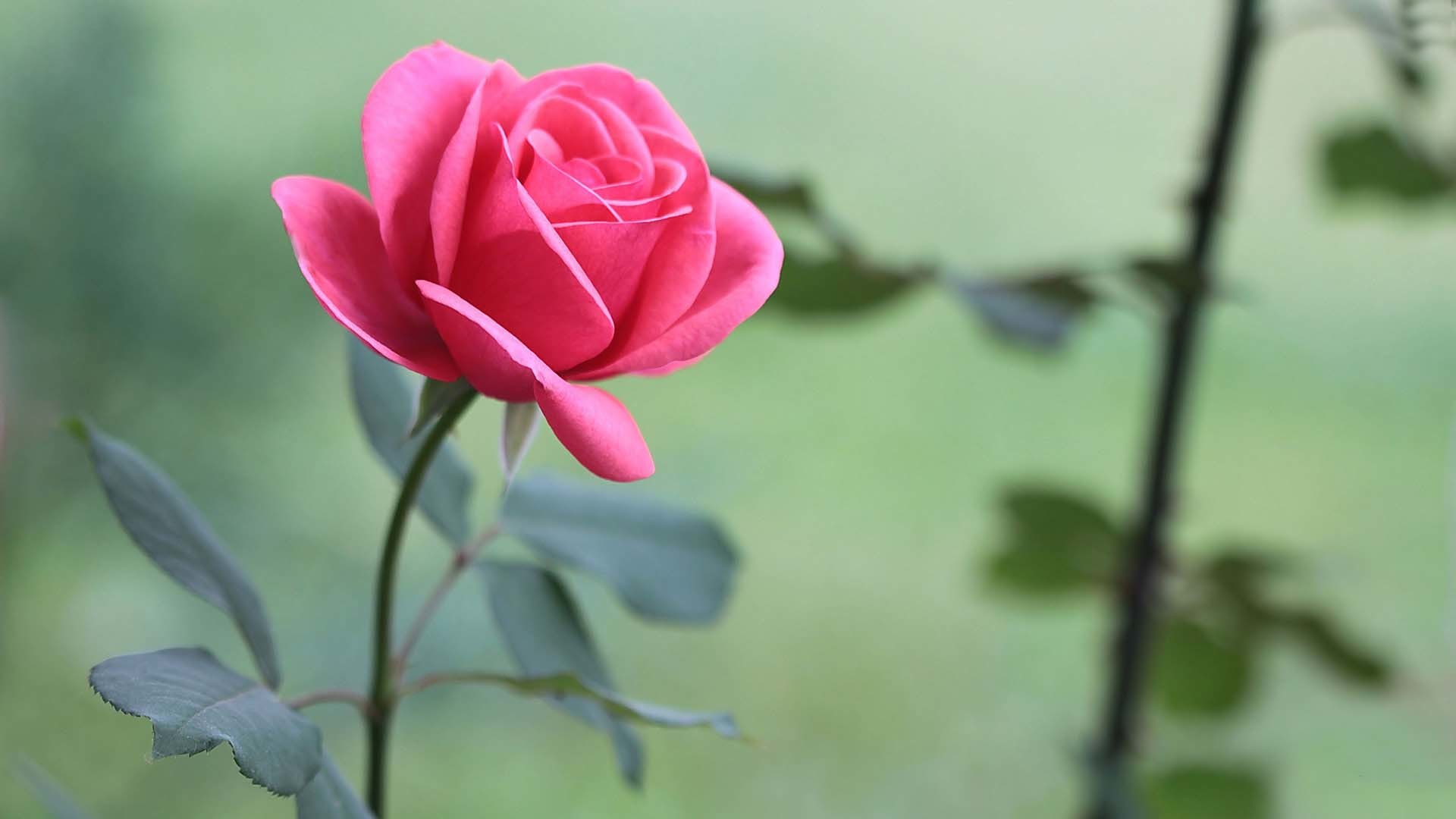 Pink rose flower wallpaper 62 pictures 1920x1080 beautiful pink rose flower hd wallpaper izmirmasajfo