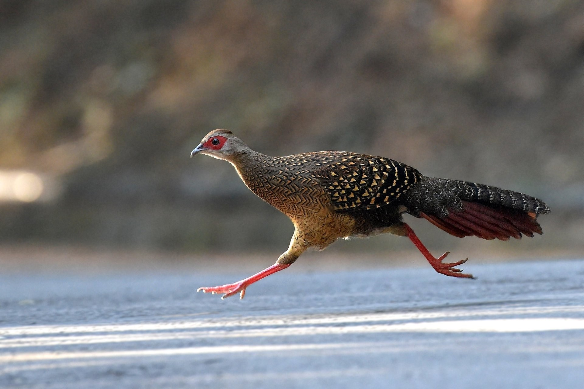 Pheasant Wallpaper 51 Pictures