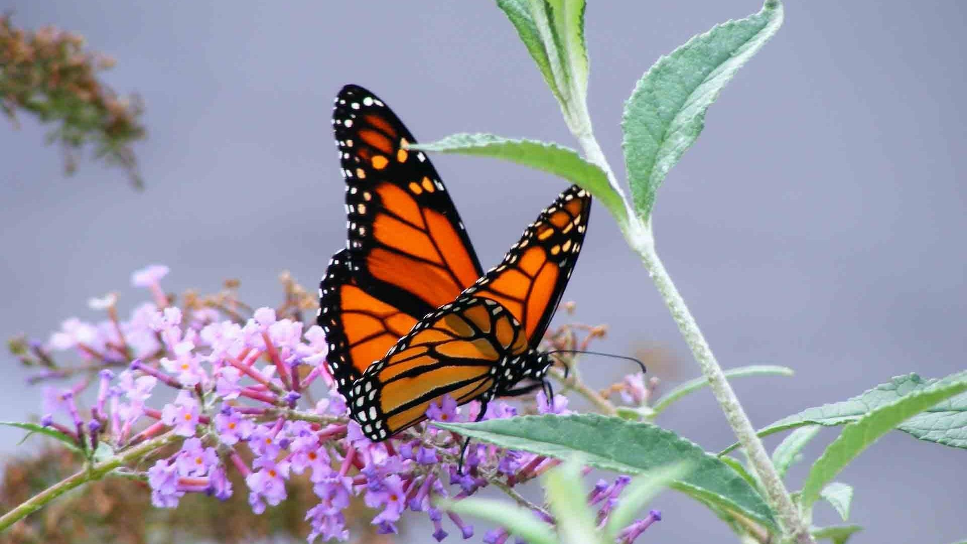Cool Butterfly Wallpapers (59+ pictures)