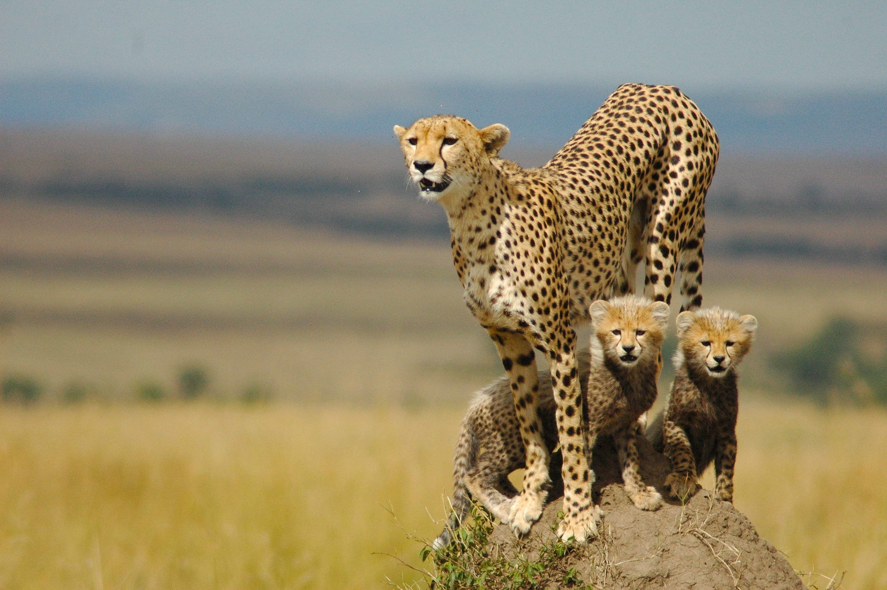 Cheetah backgrounds 64 pictures cheetah wallpapers voltagebd Image collections