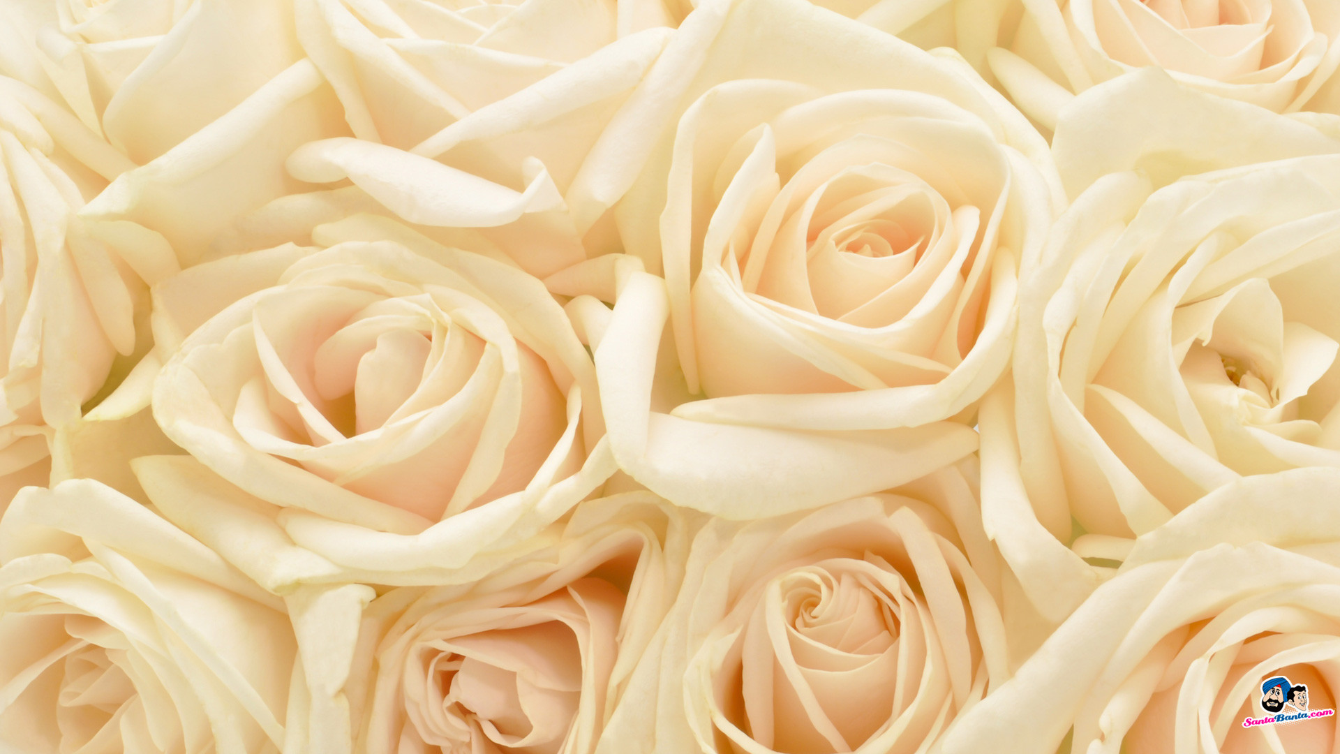 Red Roses With White Background 39 Pictures
