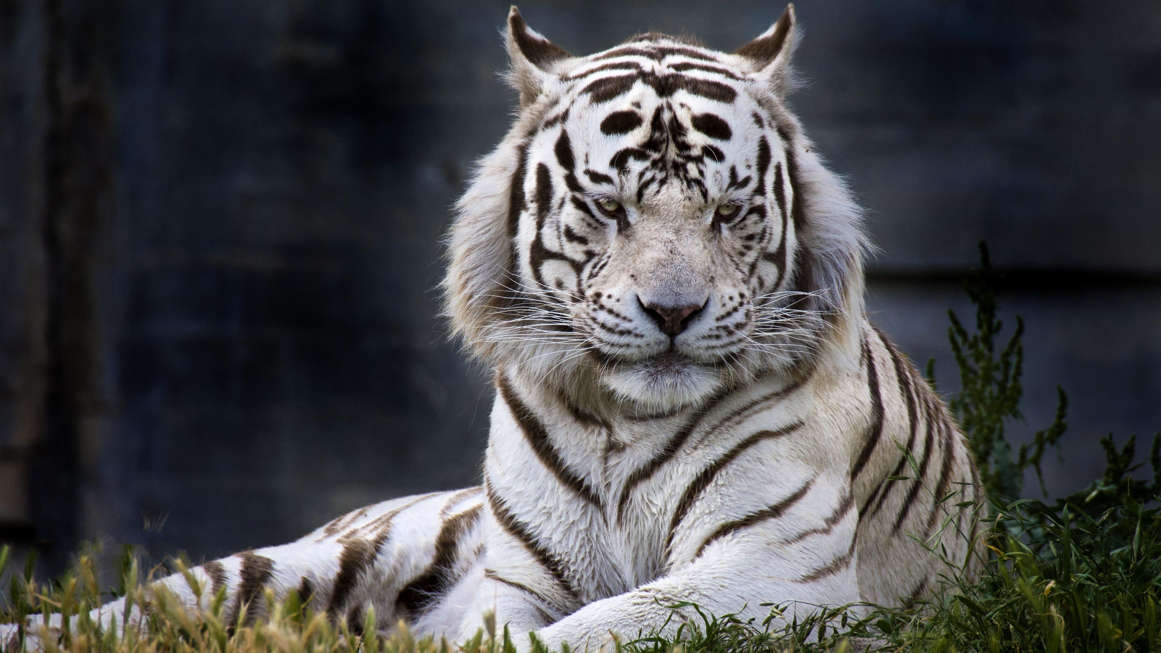 Tiger Wallpaper Desktop 62 Pictures