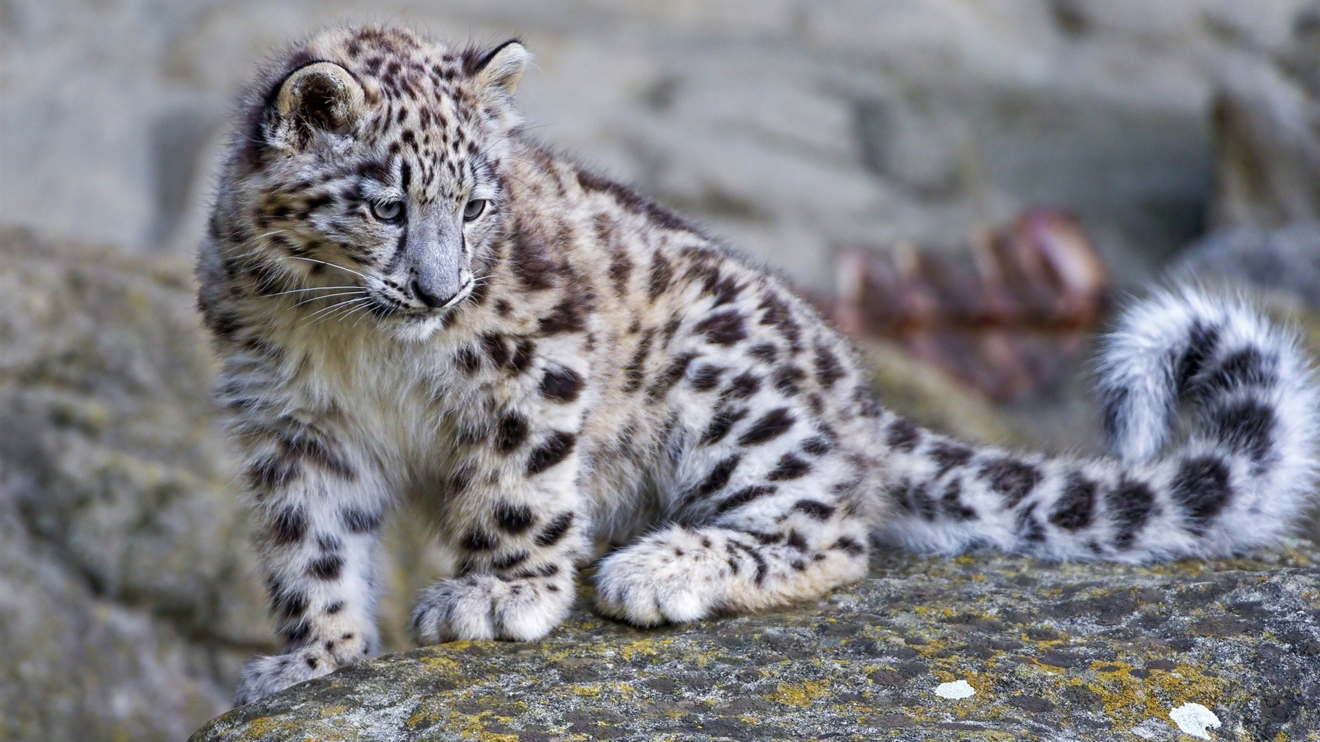 1920x1080 Snow Leopard Wallpapers HD Quality Images
