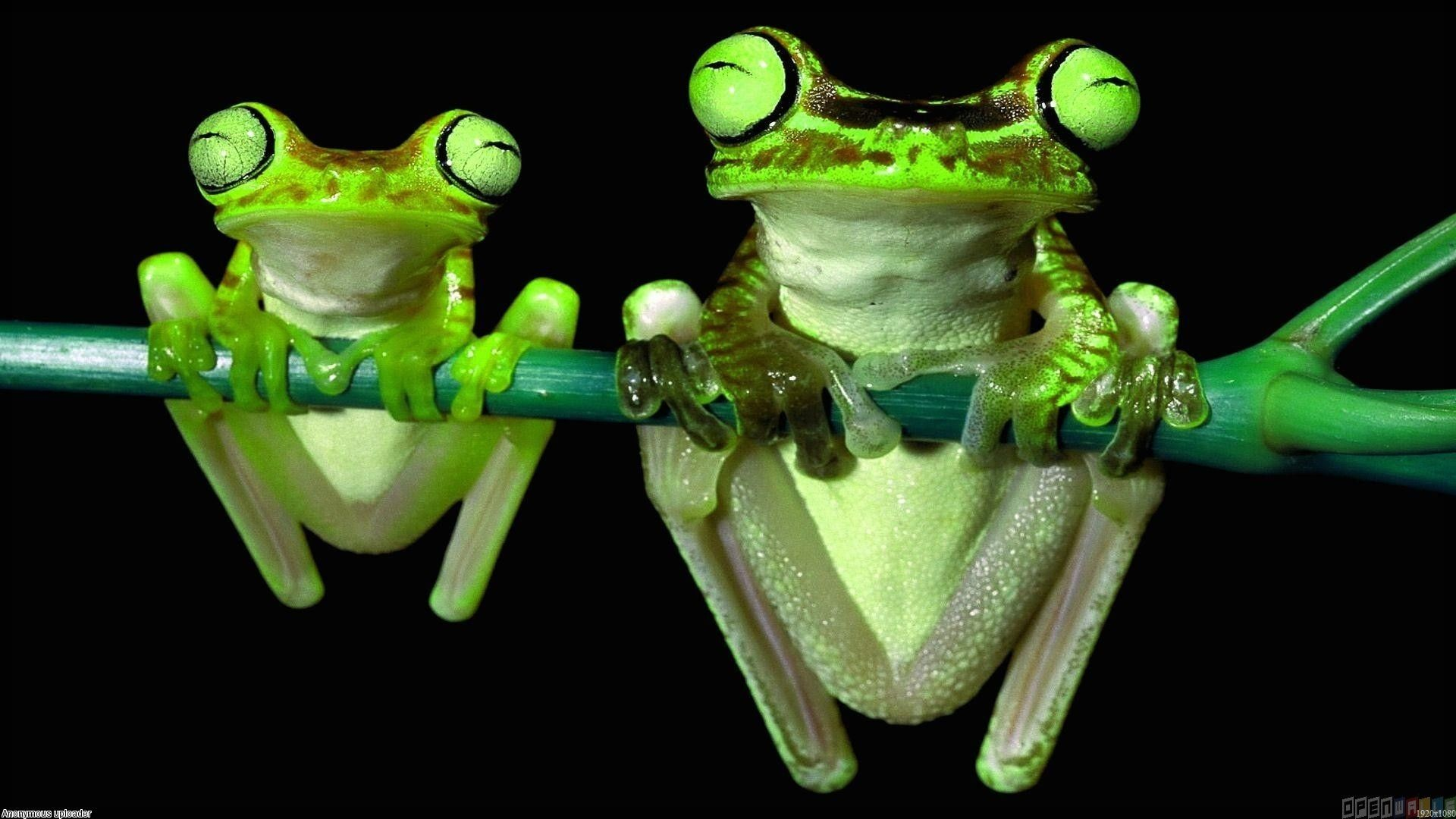 Frog Wallpaper 74 Pictures