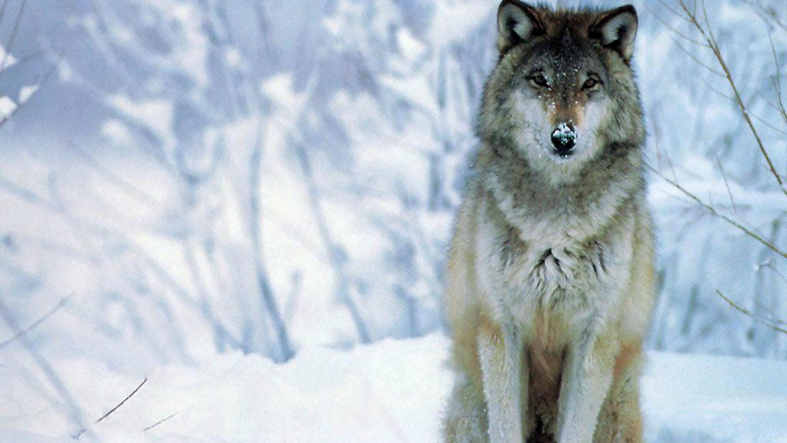 Wolf Desktop Background Pictures 72 Pictures