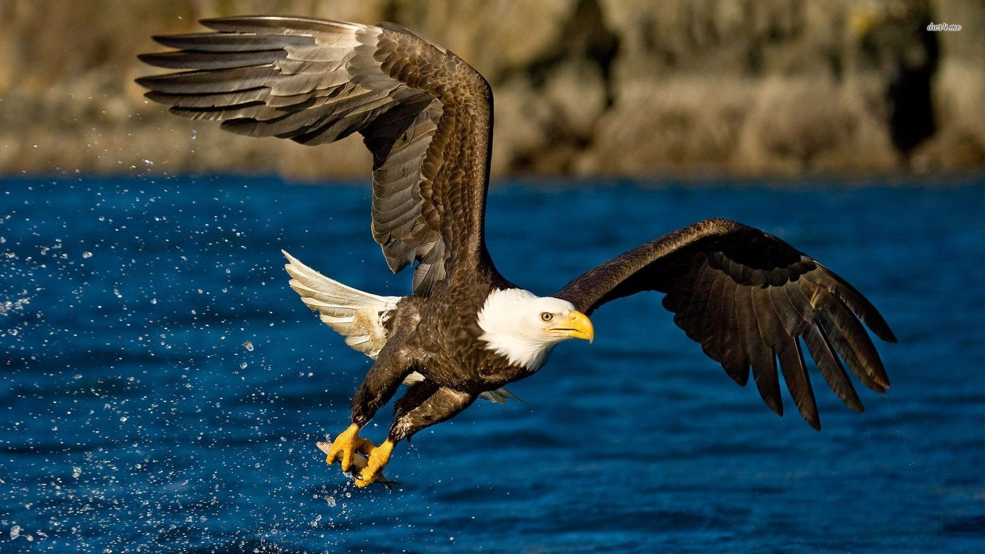 Eagle Wallpapers 66 Pictures