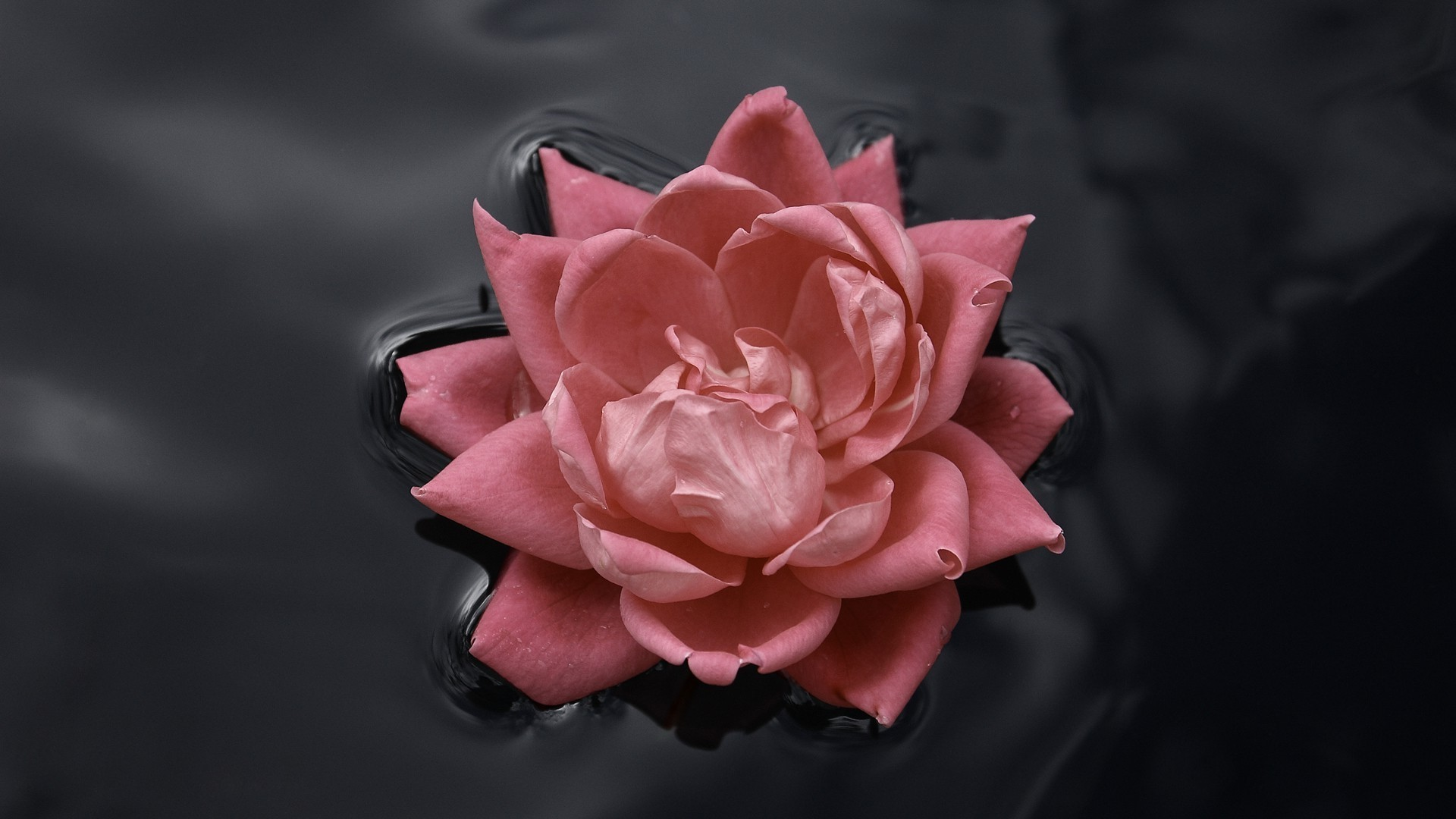 Pink black backgrounds 60 pictures - Pink rose black background wallpaper ...