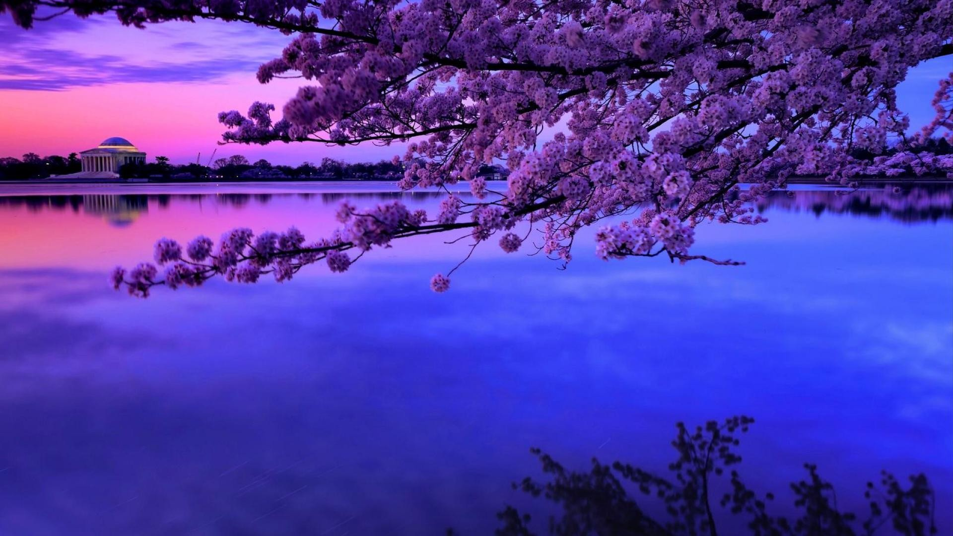 Cherry Blossom Backgrounds (61+ pictures)