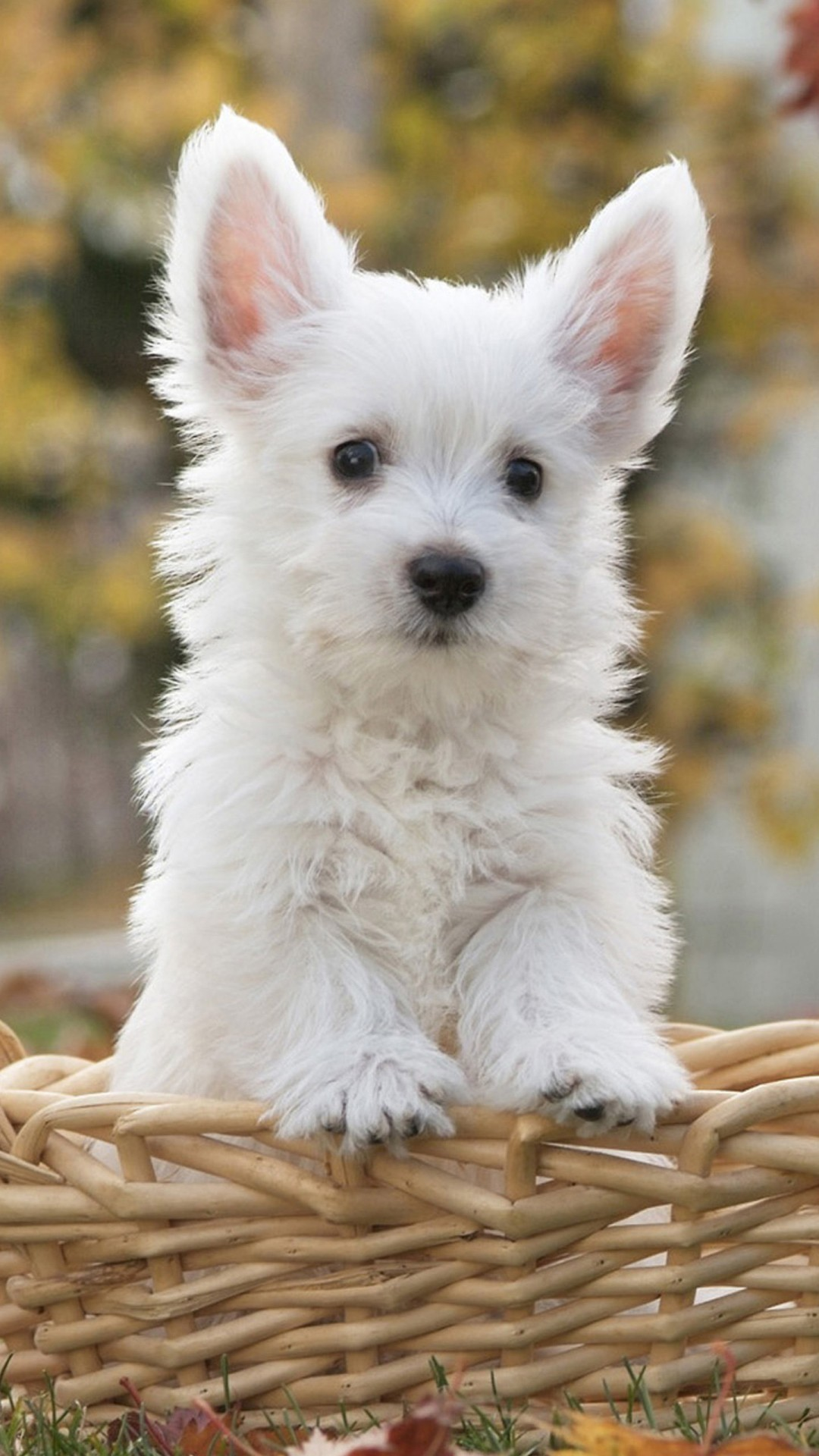 White Dog Wallpaper 61 Pictures
