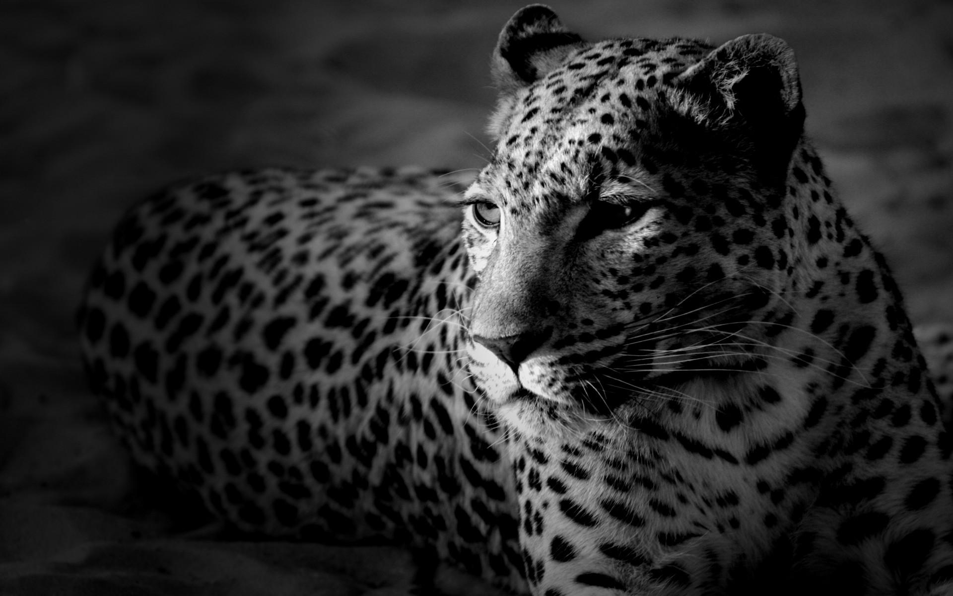 Leopard Wallpaper 78 Pictures