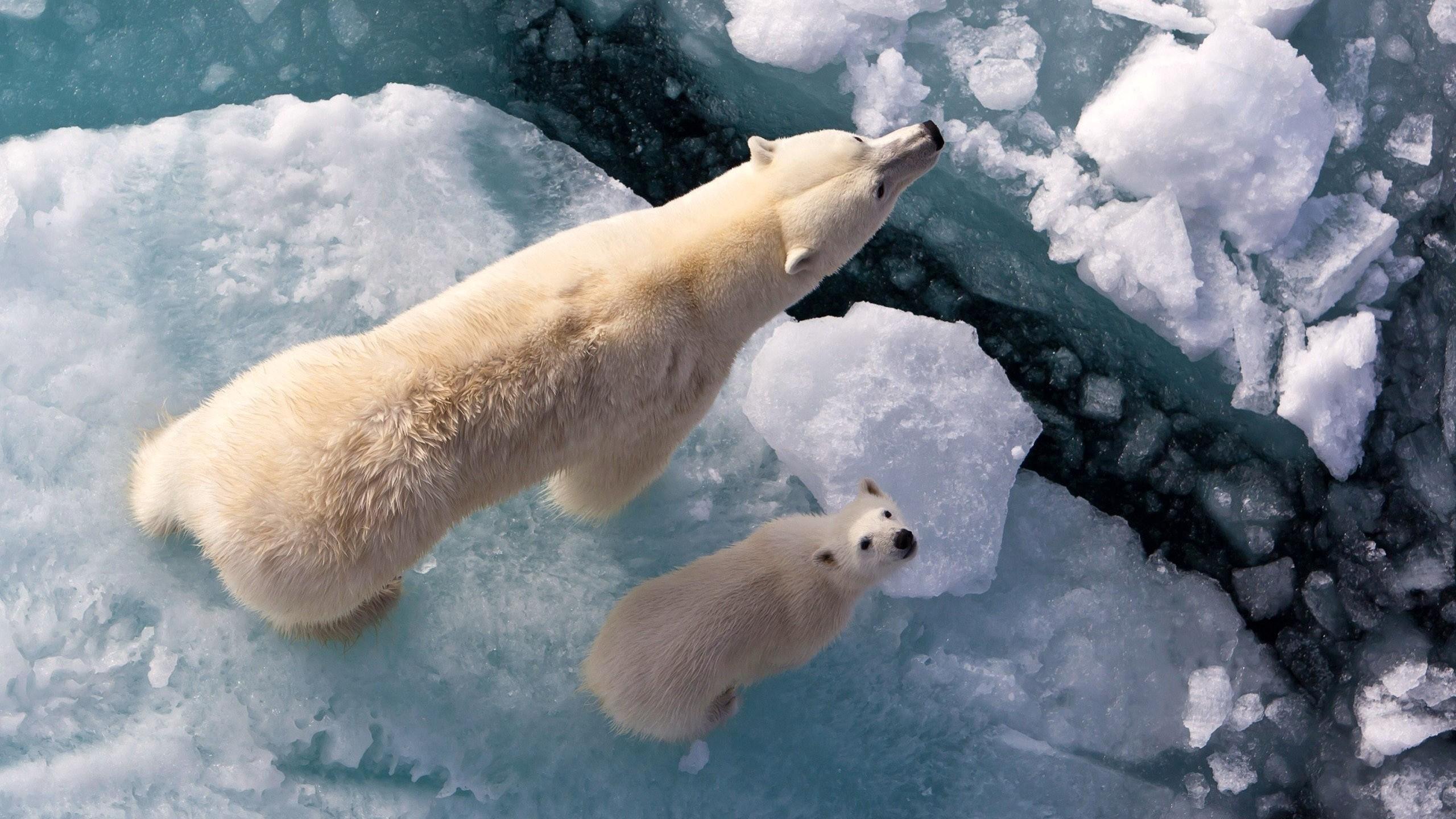 Polar Bear Wallpaper (65+ pictures)