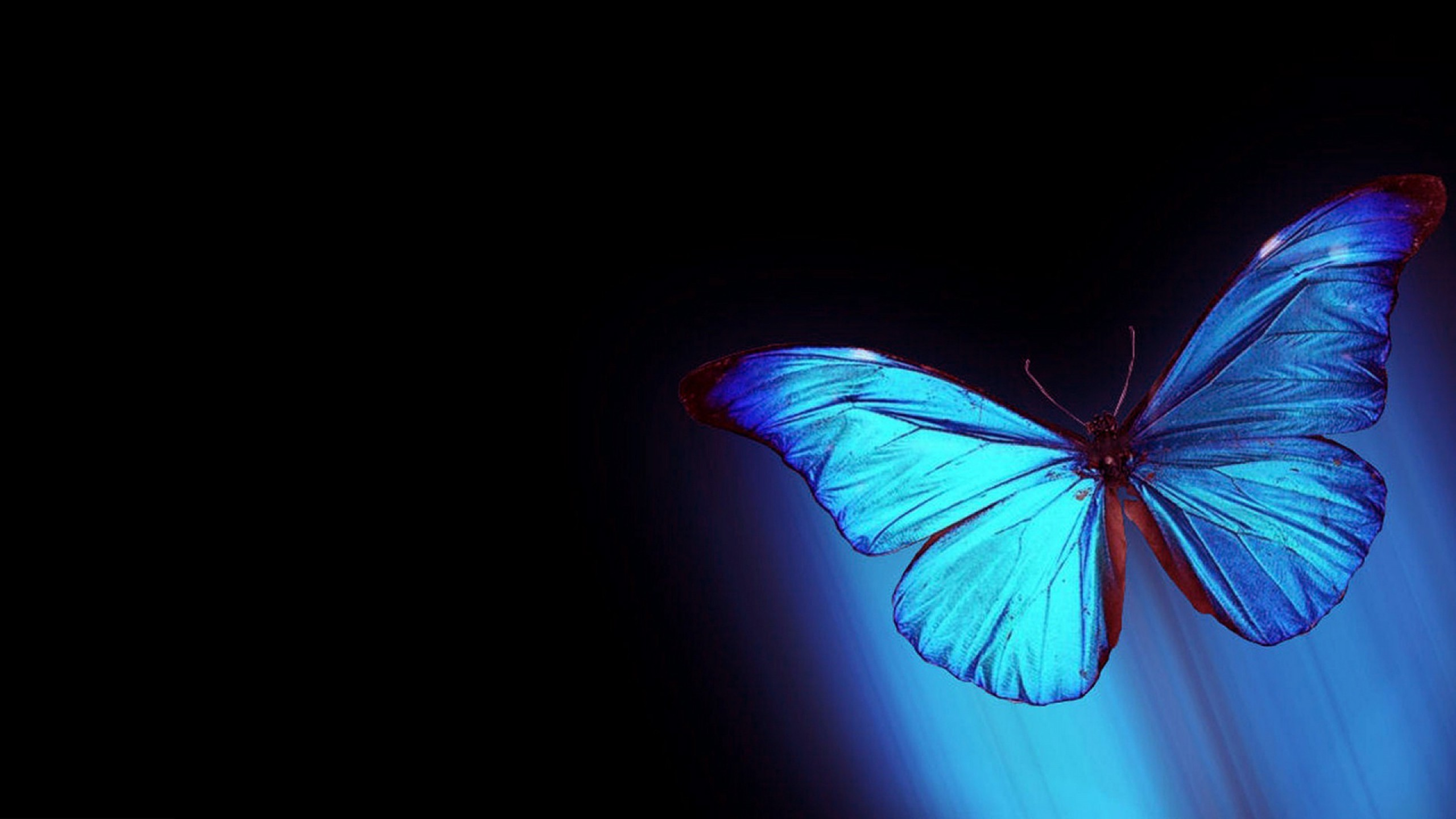 Blue Butterfly Wallpaper 75 Pictures