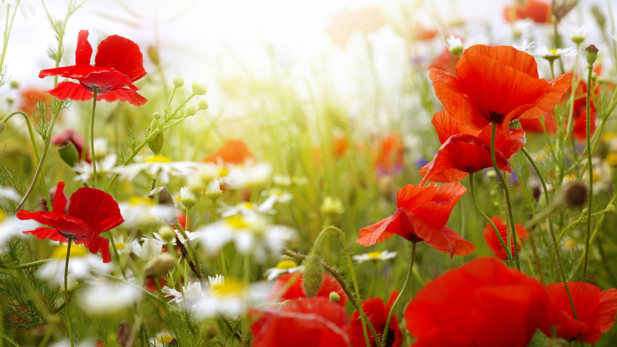 wallpaper poppies (64+ pictures)