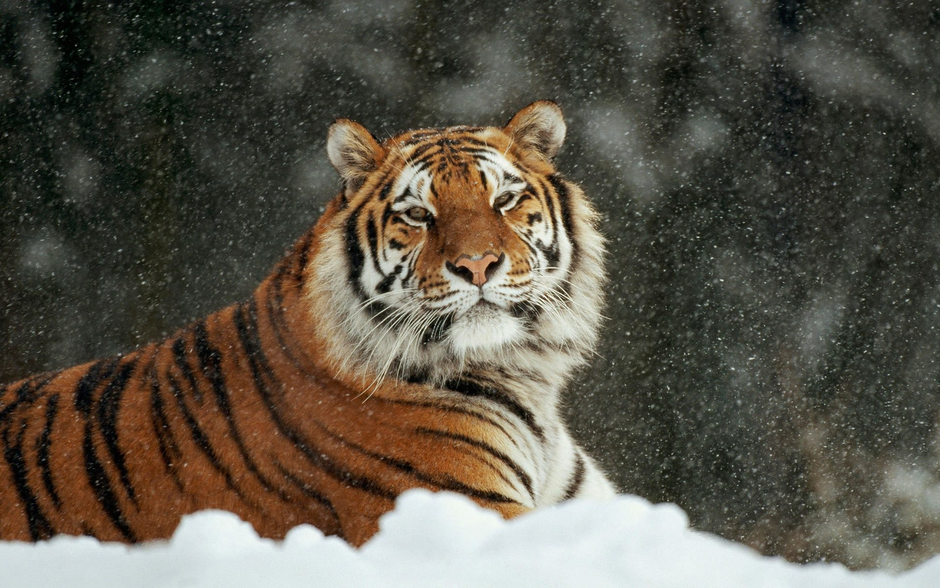 Wallpaper Blink Best of Tiger Wallpapers HD for Android Windows