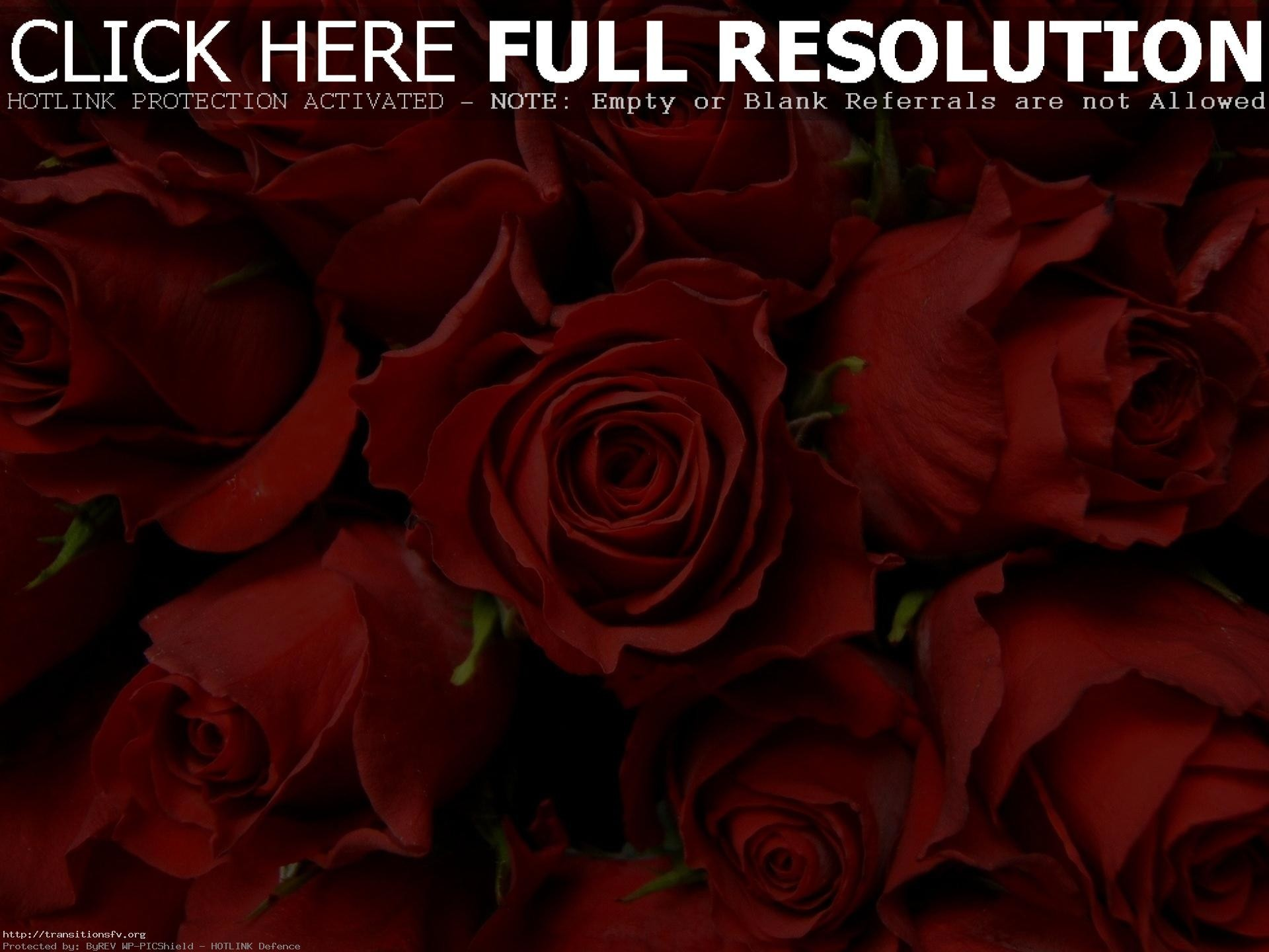 Red Rose Wallpaper 68 Pictures