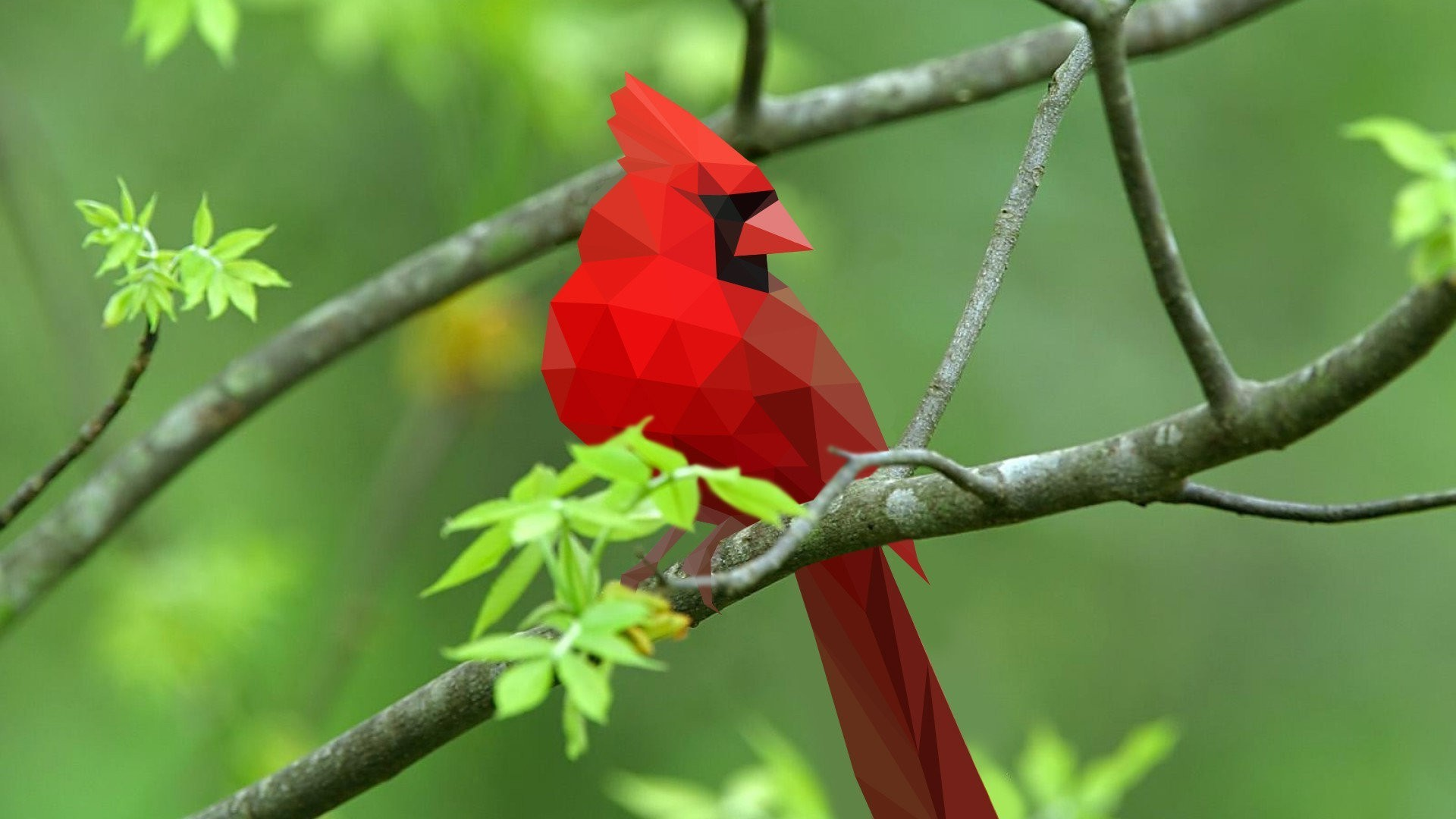 Cardinal Bird Wallpaper 52 Pictures