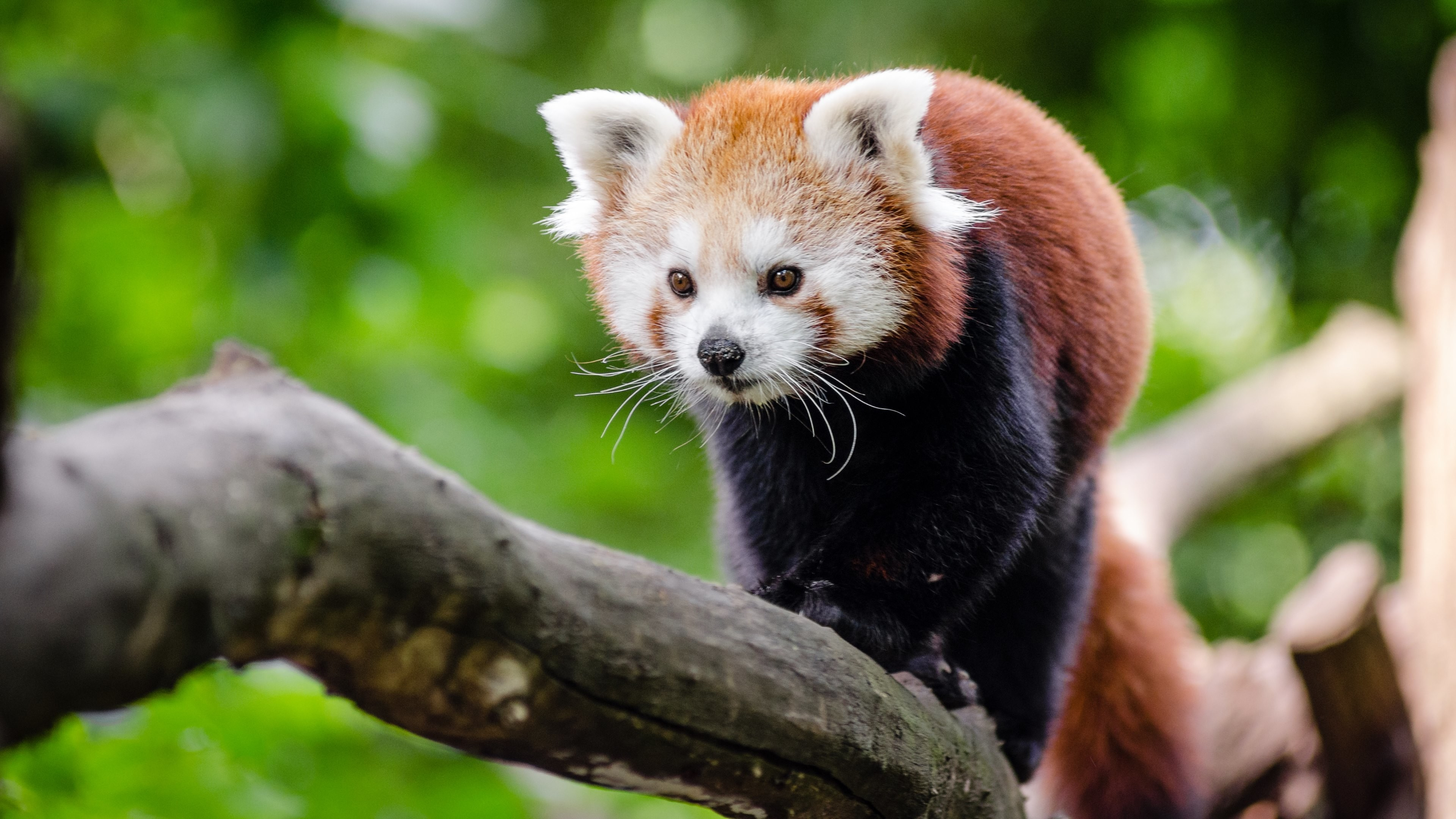 Red Panda Background 67 Pictures