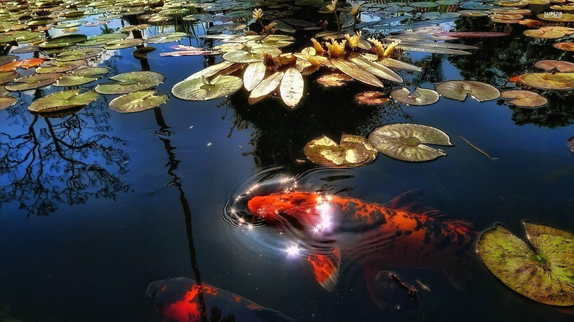 Koi Pond Wallpaper 59 Pictures