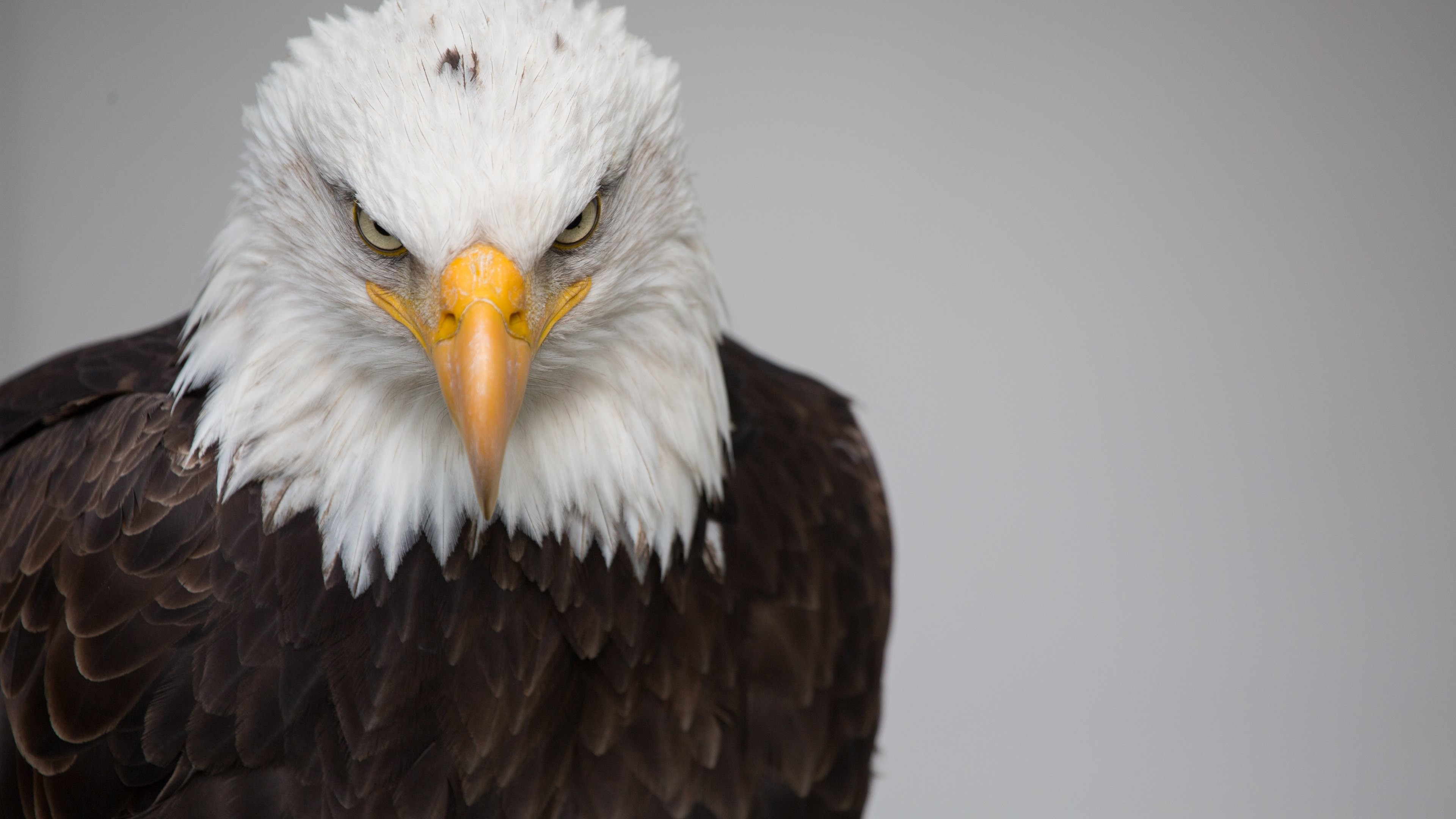 Bald Eagle Wallpapers 63 Pictures