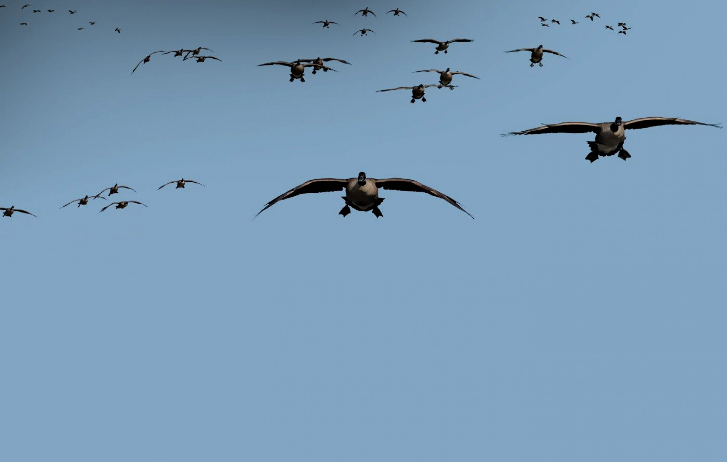 Waterfowl Wallpaper (53+ pictures)