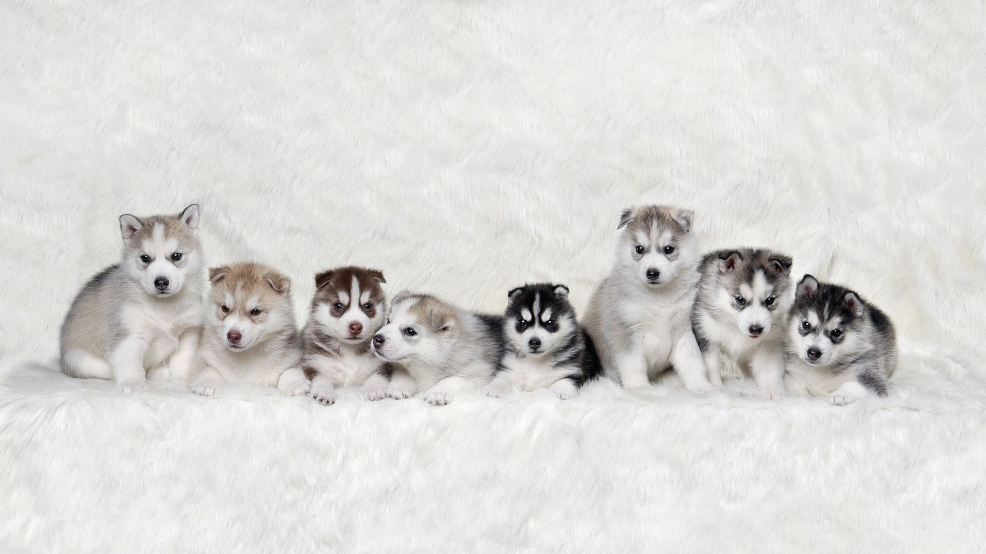 Puppy Desktop Backgrounds 78 Pictures