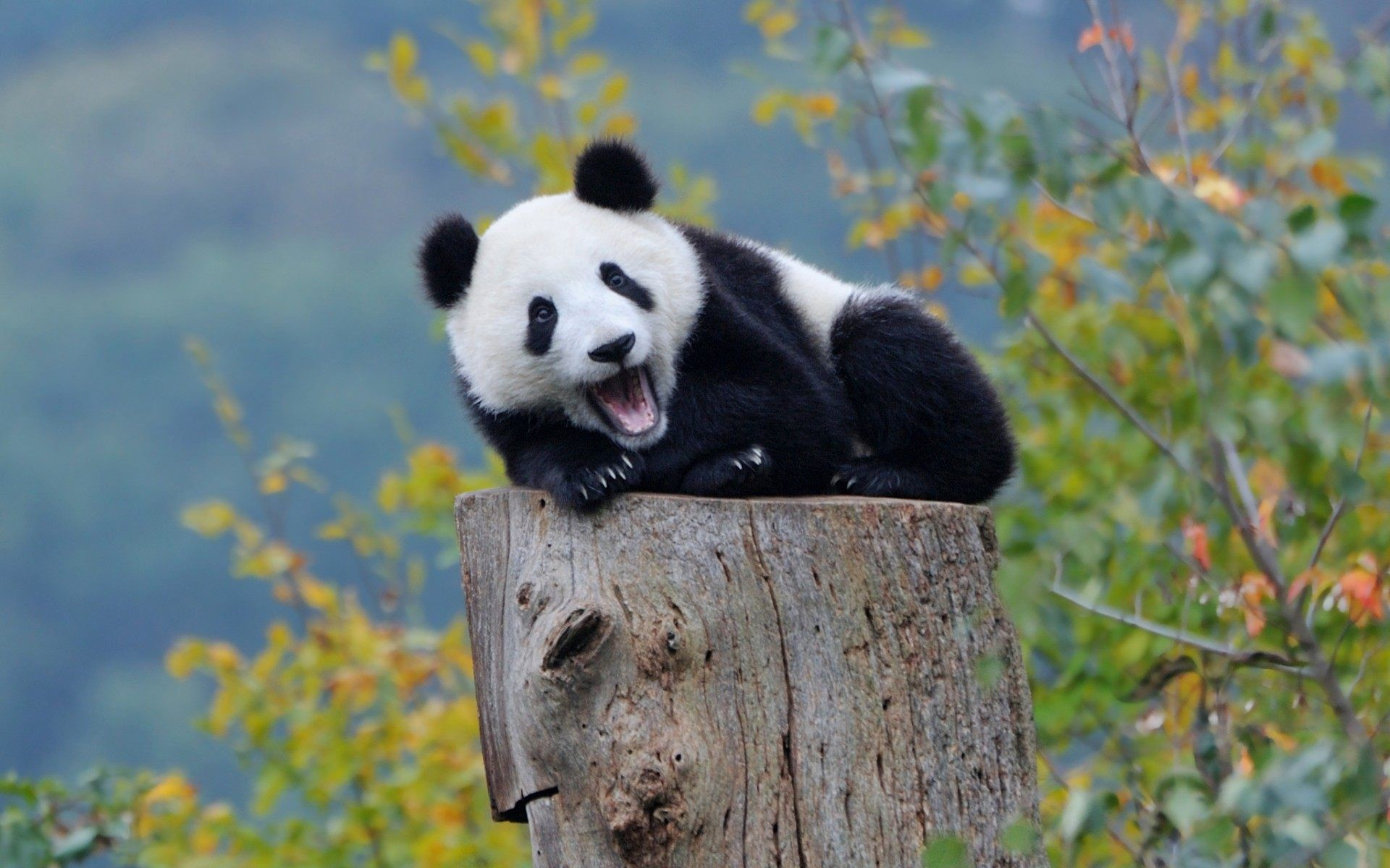 Cute Panda Wallpapers 64 Pictures