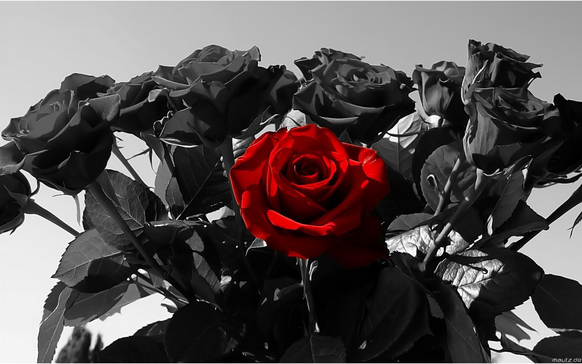 black red rose wallpaper hd