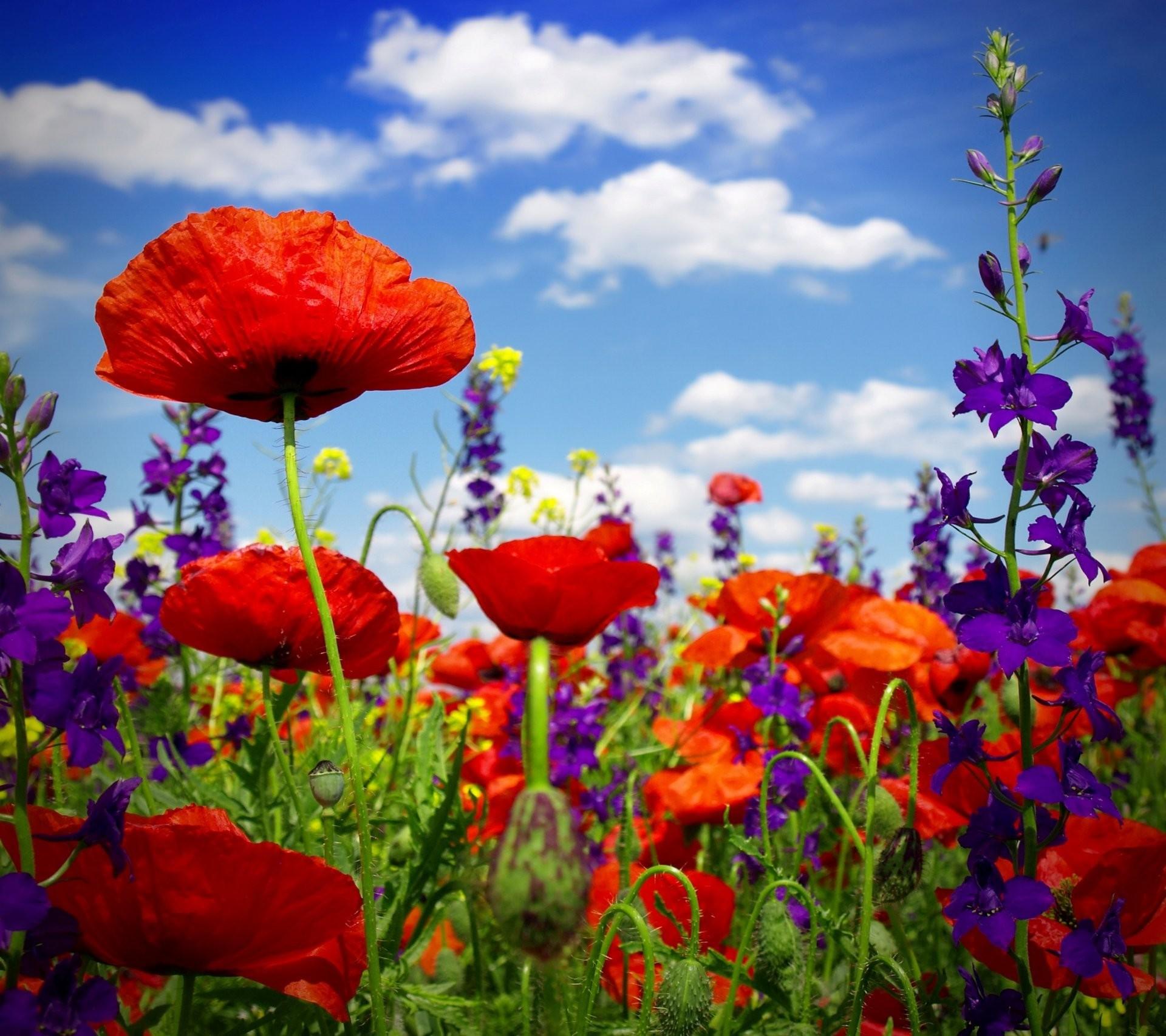 Poppy Flower Wallpaper 62 Pictures