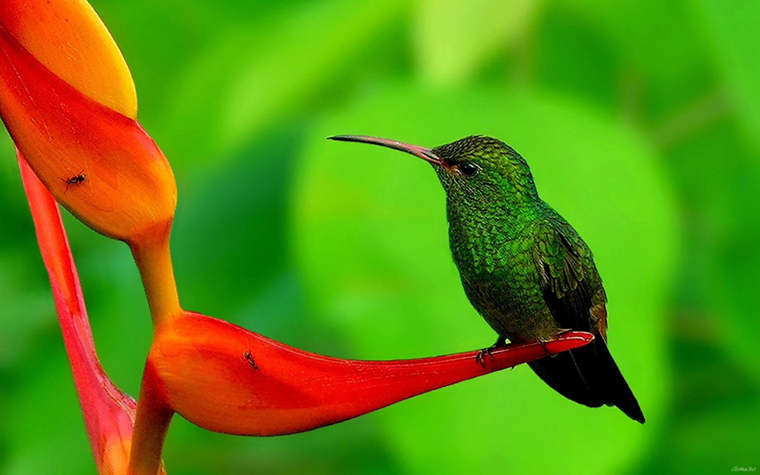 hummingbird wallpapers 63 pictures
