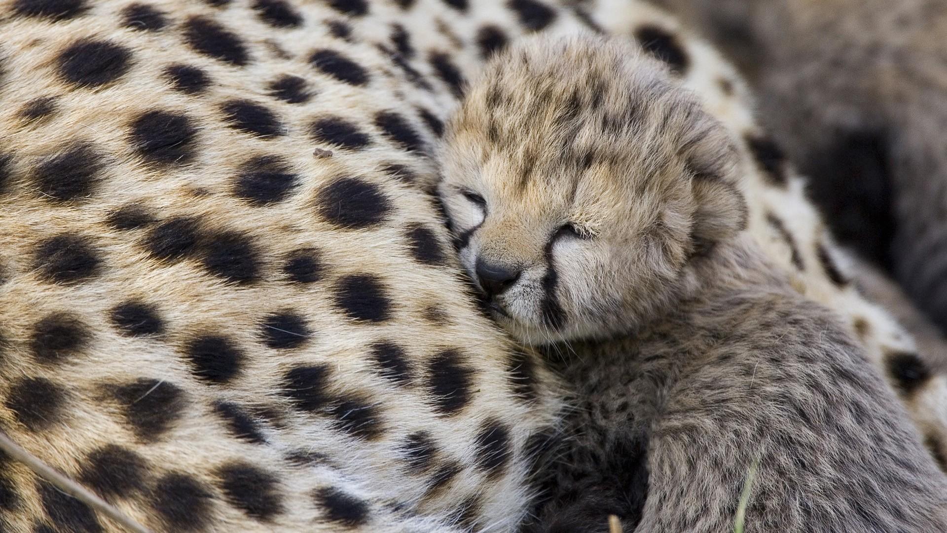 Cute Cheetah Wallpaper 57 pictures
