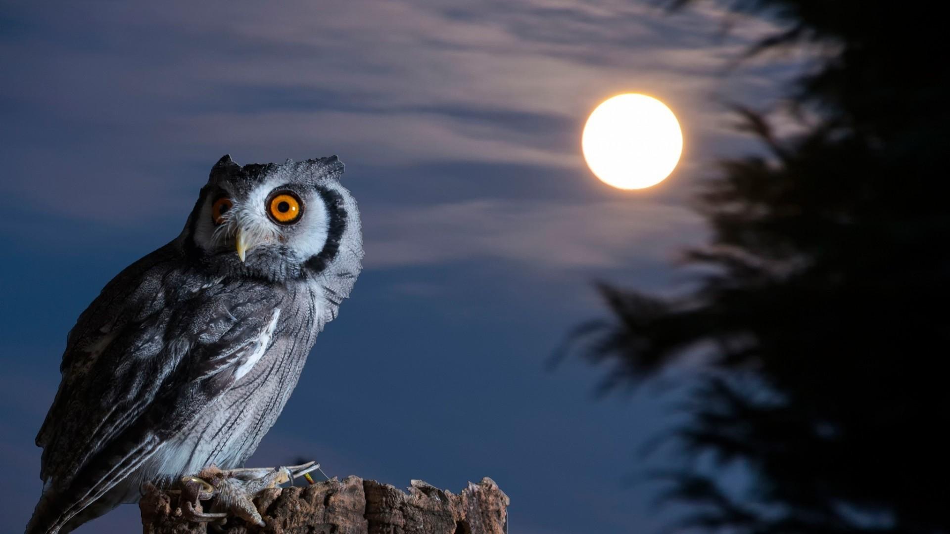 Owl Desktop Wallpaper 78 Pictures