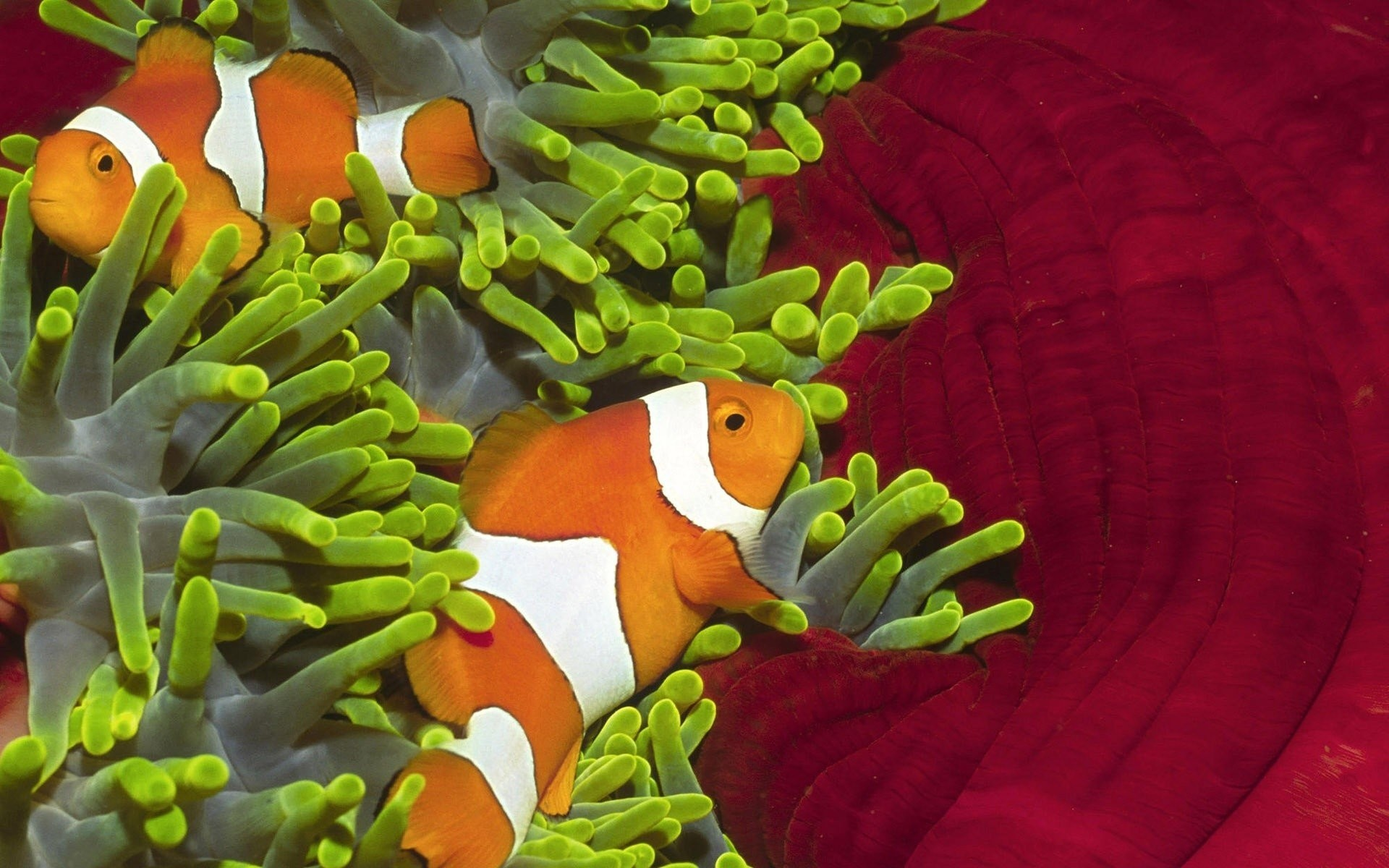 Clownfish Background 55 Pictures