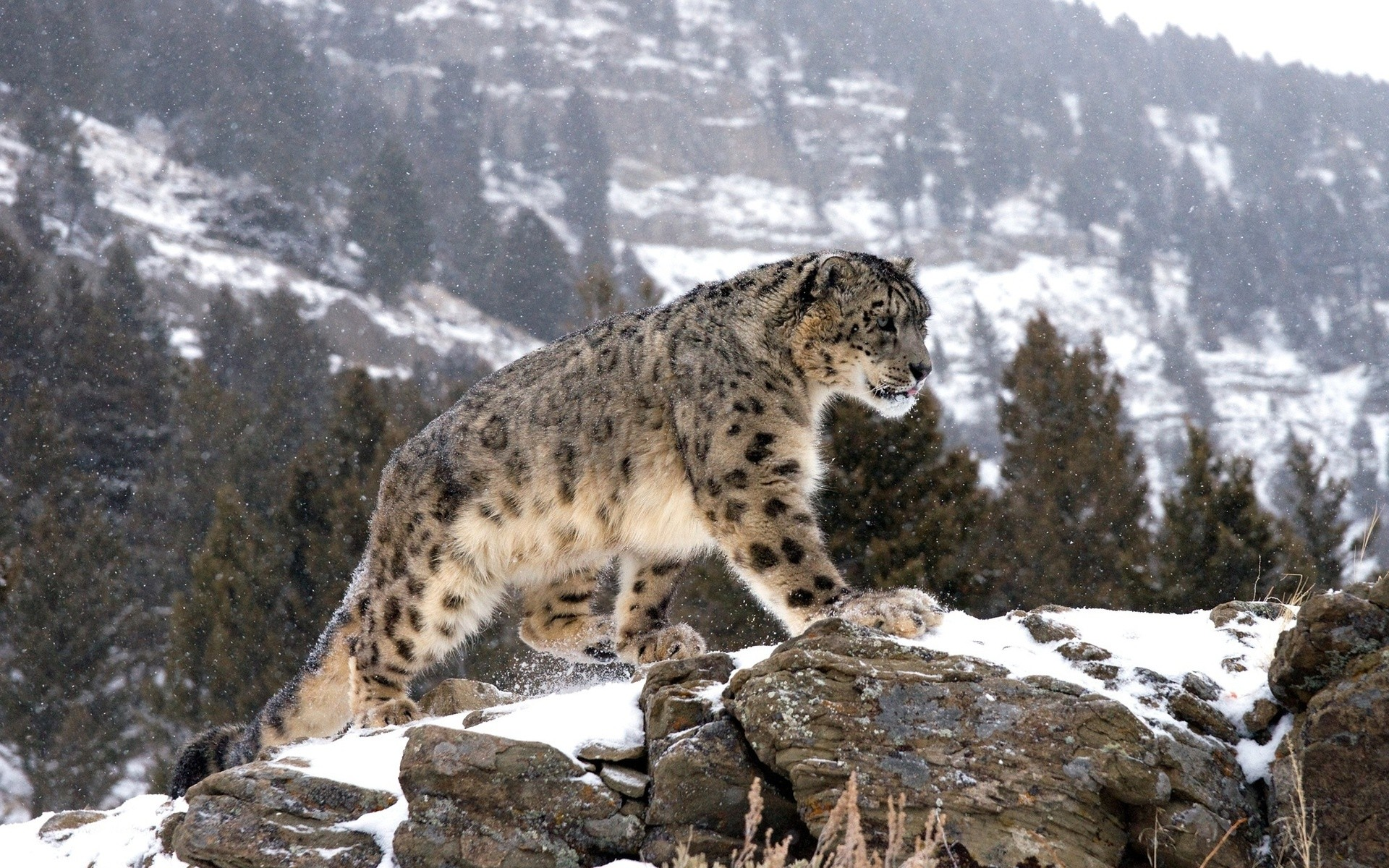 Snow Leopard Wallpaper HD (69+ pictures)