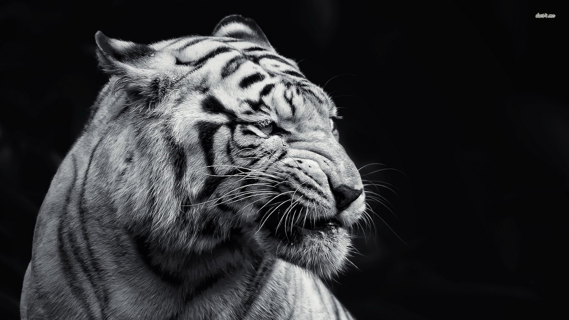 Baby White Tiger Wallpaper 57 Pictures