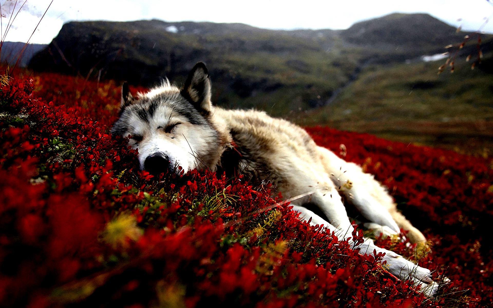Husky Wallpaper (81+ pictures)