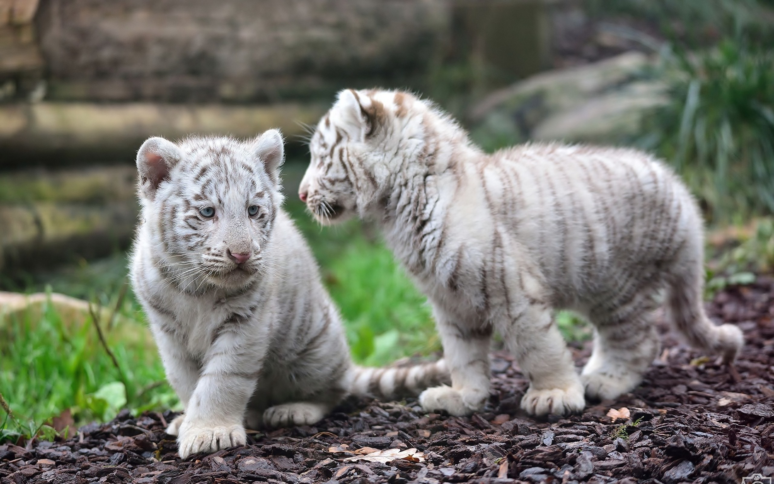 2017 Christmas Gift Ideas for Employees: The Essential Baby white tiger pictures