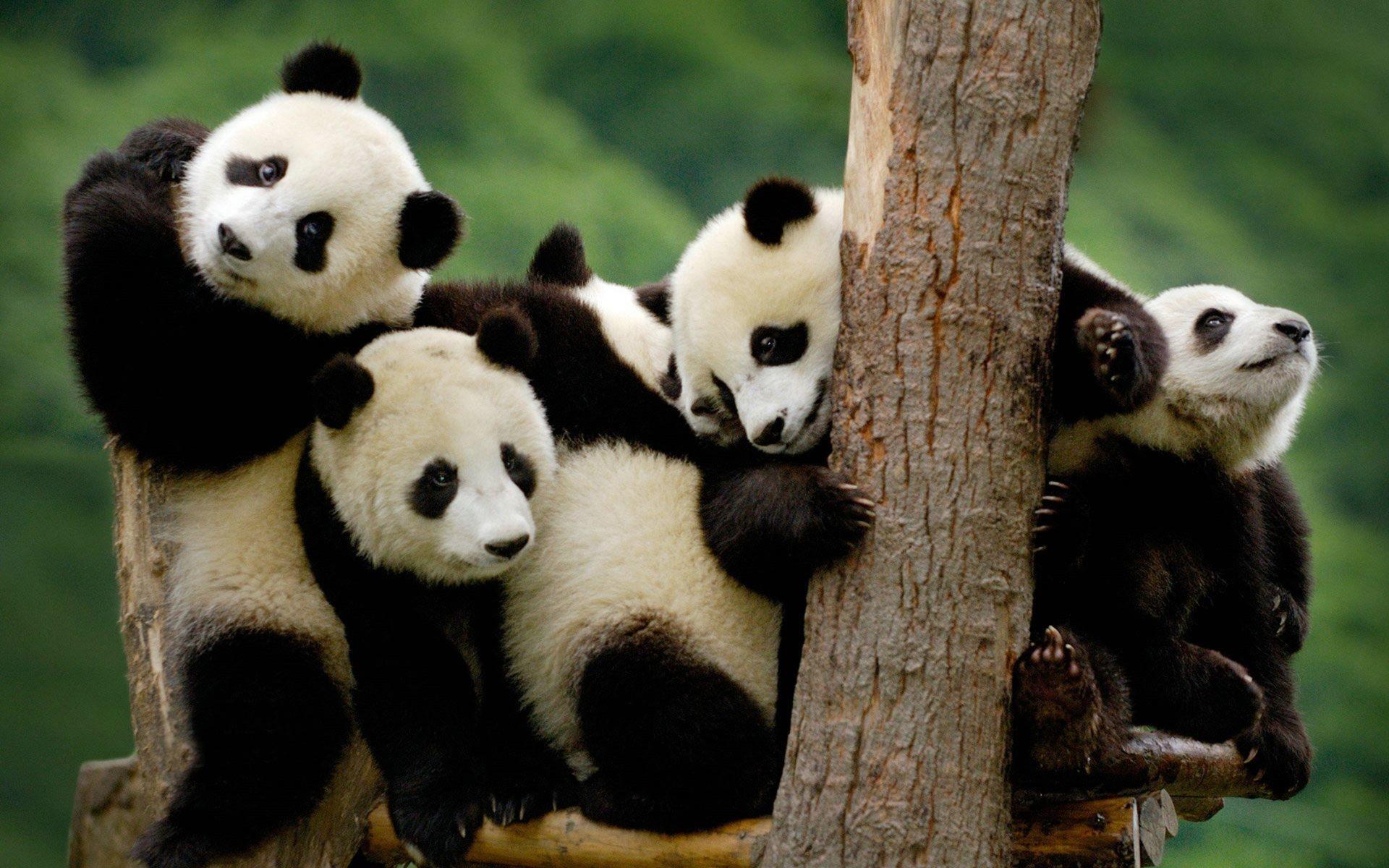 Cute Baby Panda Wallpaper 1920x1200