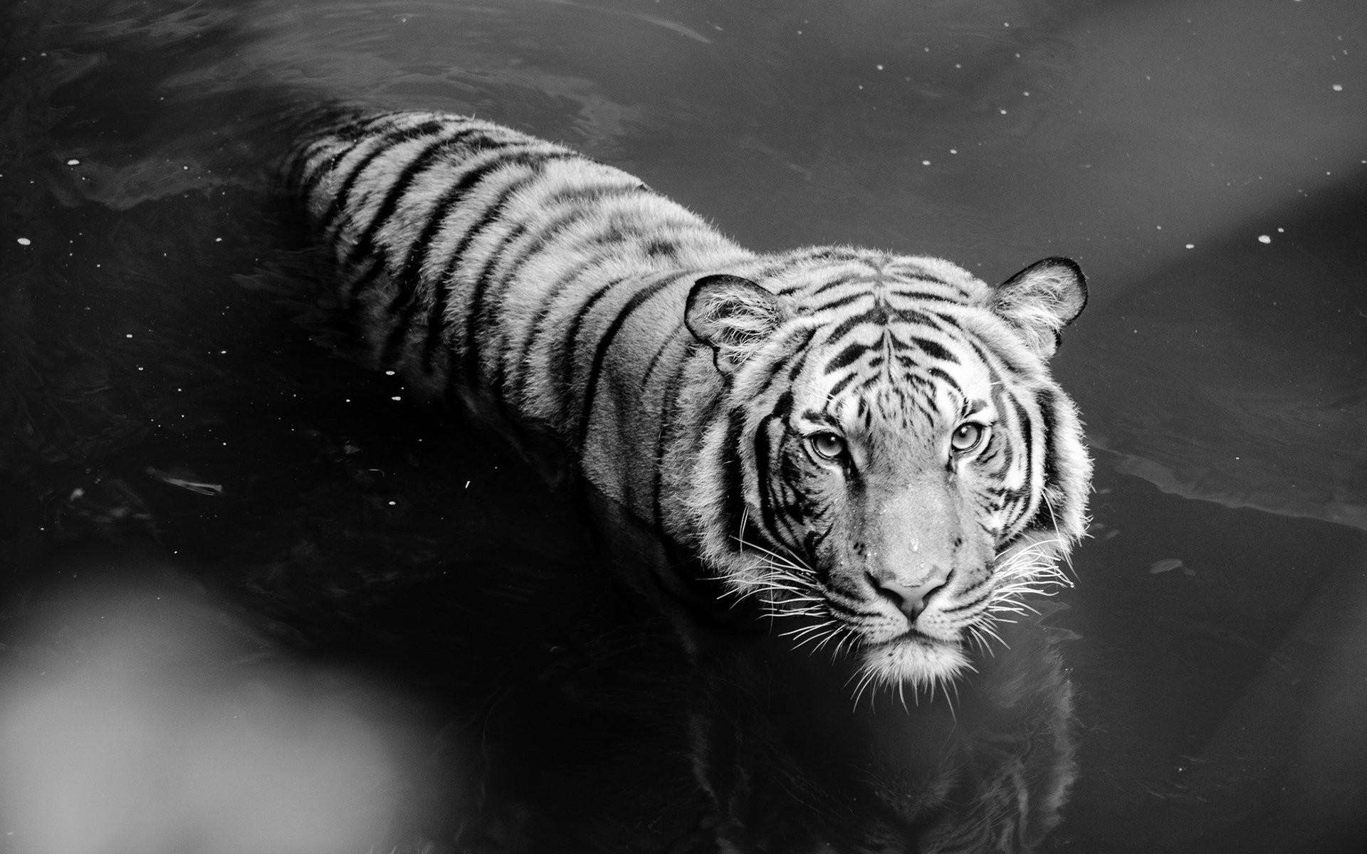 White tiger wallpaper hd 59 pictures - Tiger hd wallpaper for pc ...