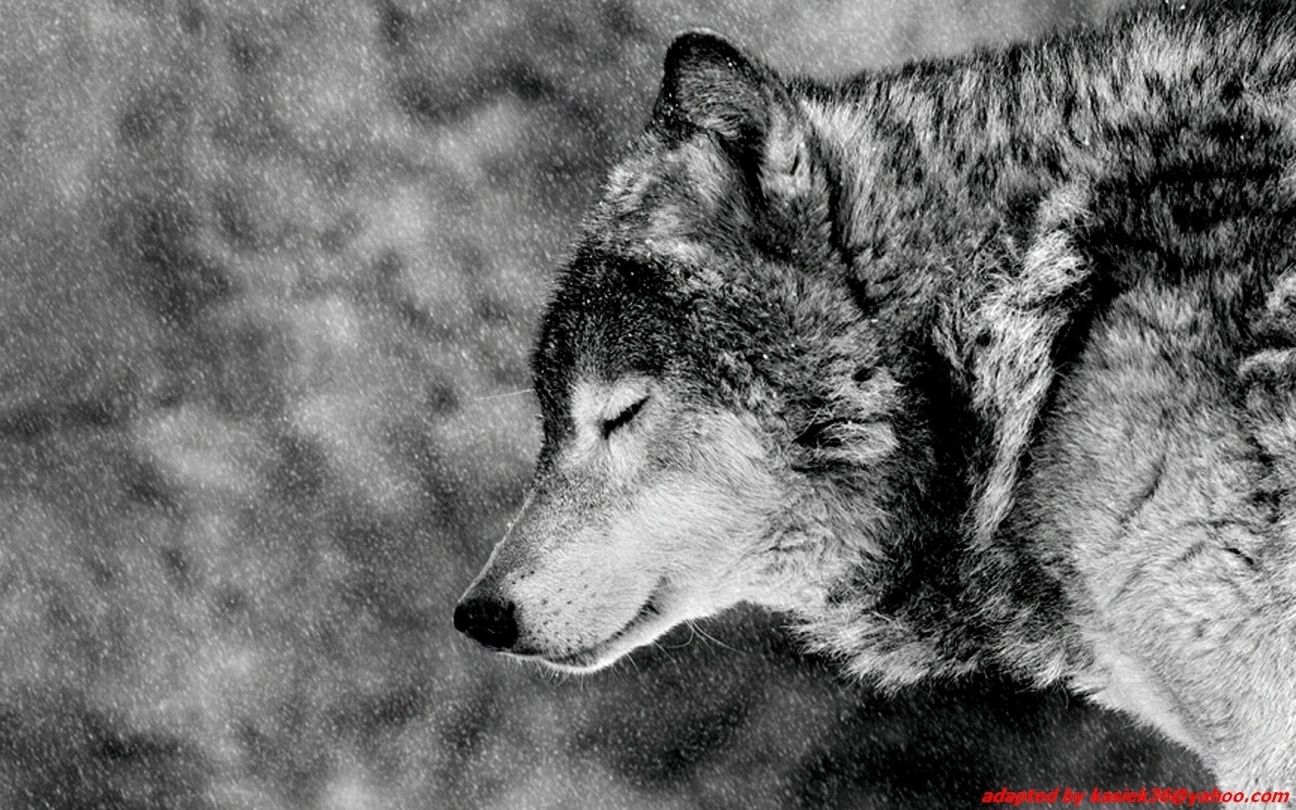 1920x1080 ET Free Wolf Wallpaper For Desktop Awesome Backgrounds 1920A 1200 Wallpapers