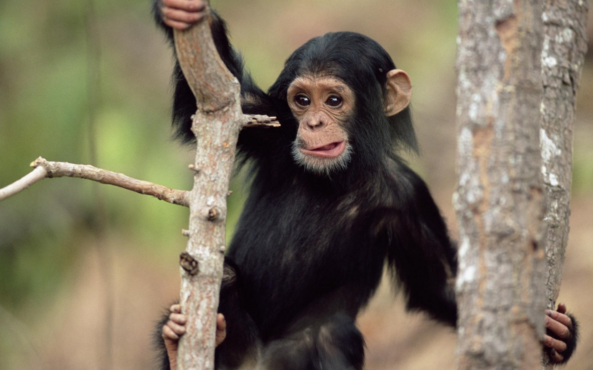 Nature Wallpaper Baby Monkey Wallpapers Monkey Baby Funny
