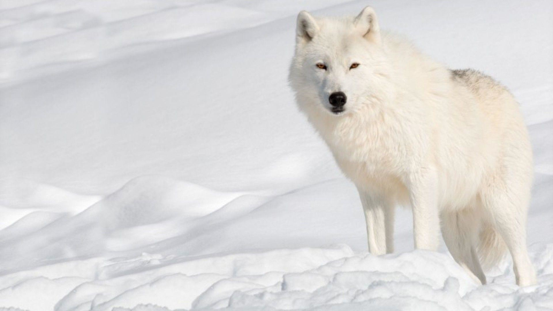 Arctic Wolf Wallpaper 67 Pictures