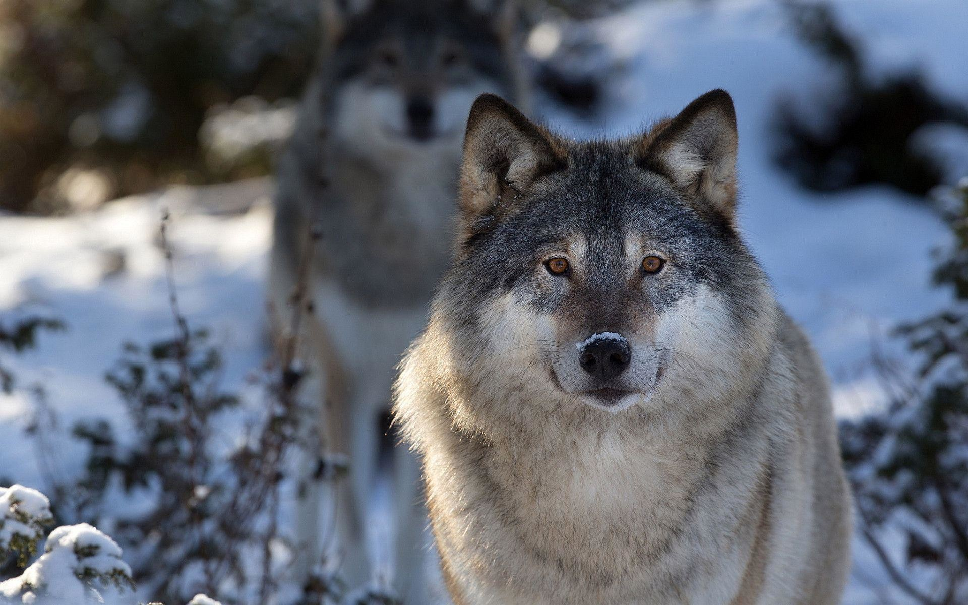 Grey Wolf Wallpaper 64 Pictures