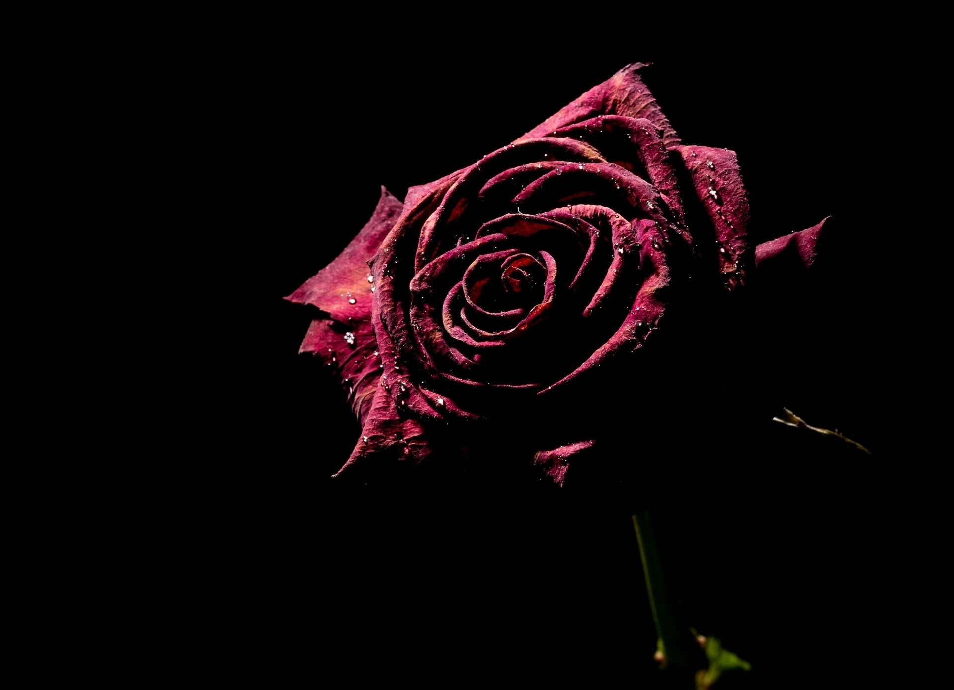 Red Rose Black Background 41 Pictures