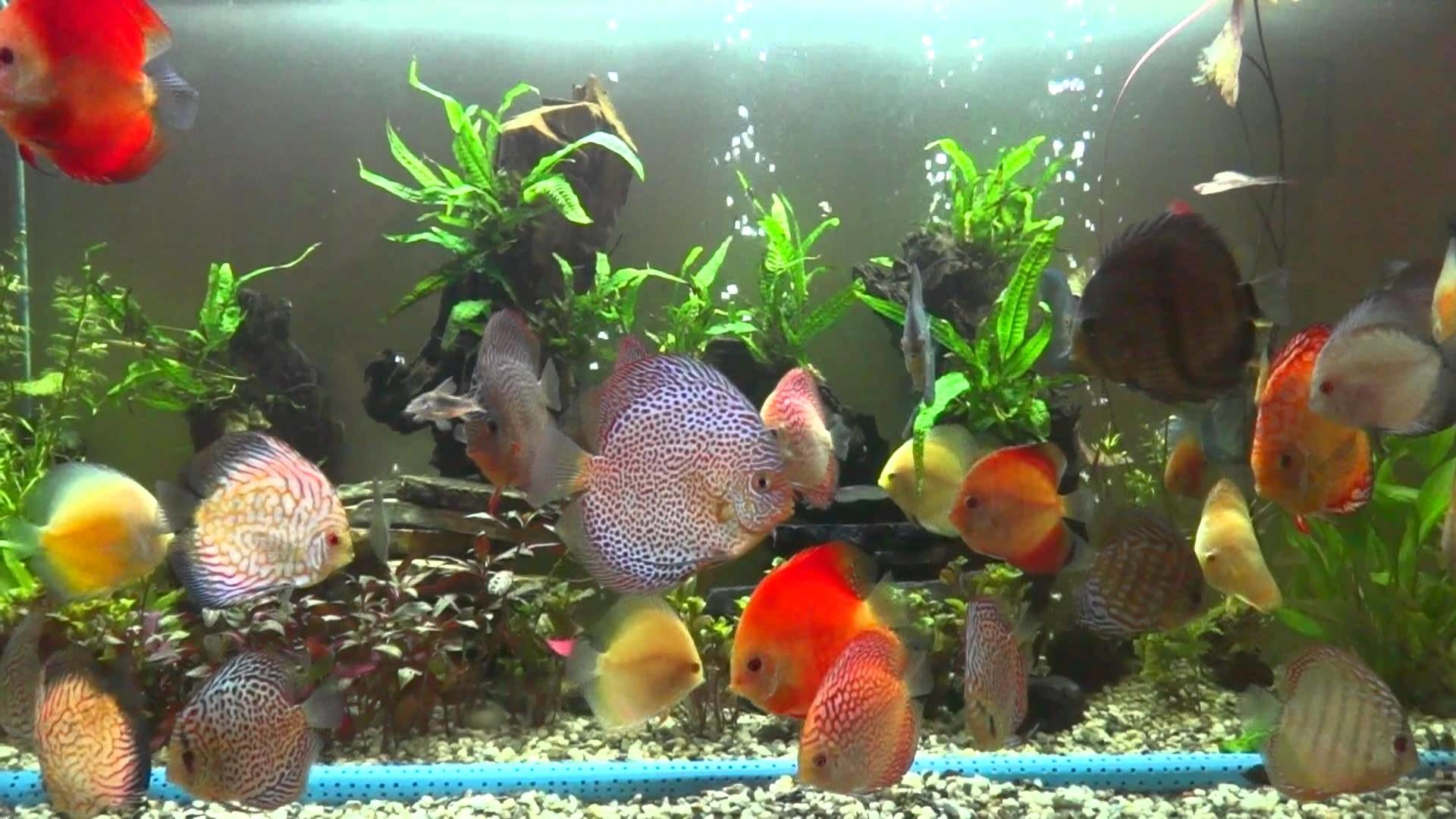 Discus Fish Wallpaper 48 Pictures