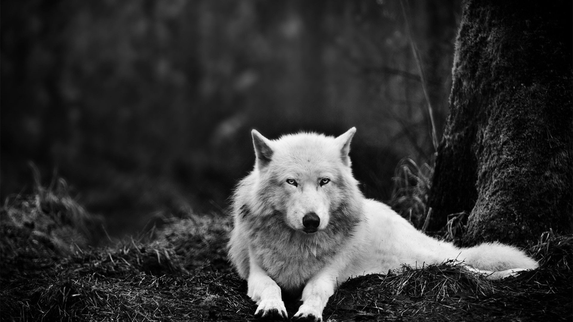 Wolf Wallpapers For Desktop 61 Pictures