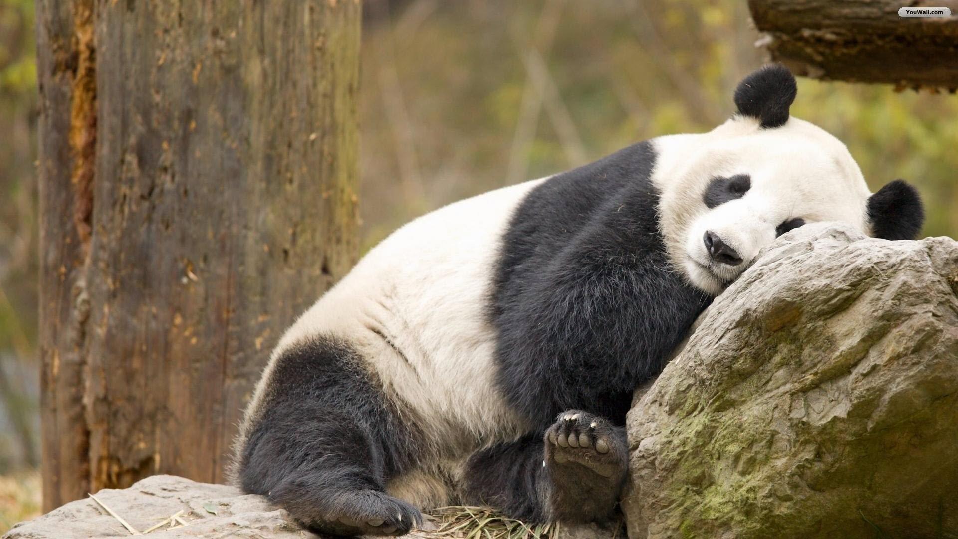 Panda Wallpaper 75 Pictures