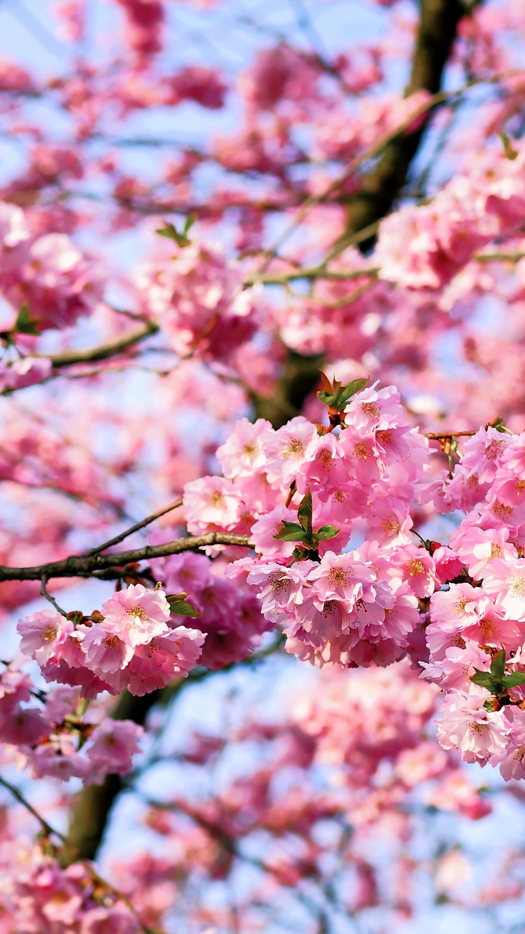 Cherry Blossom Wallpaper 71 Pictures