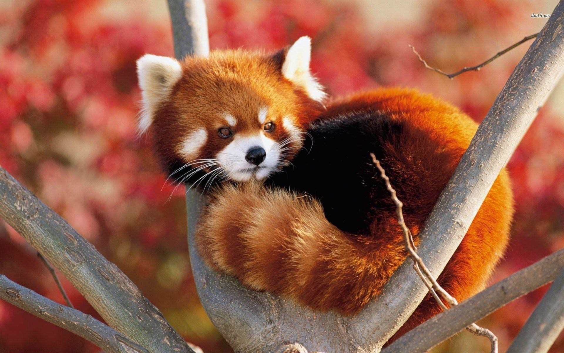 Red Panda Wallpapers 66 Pictures