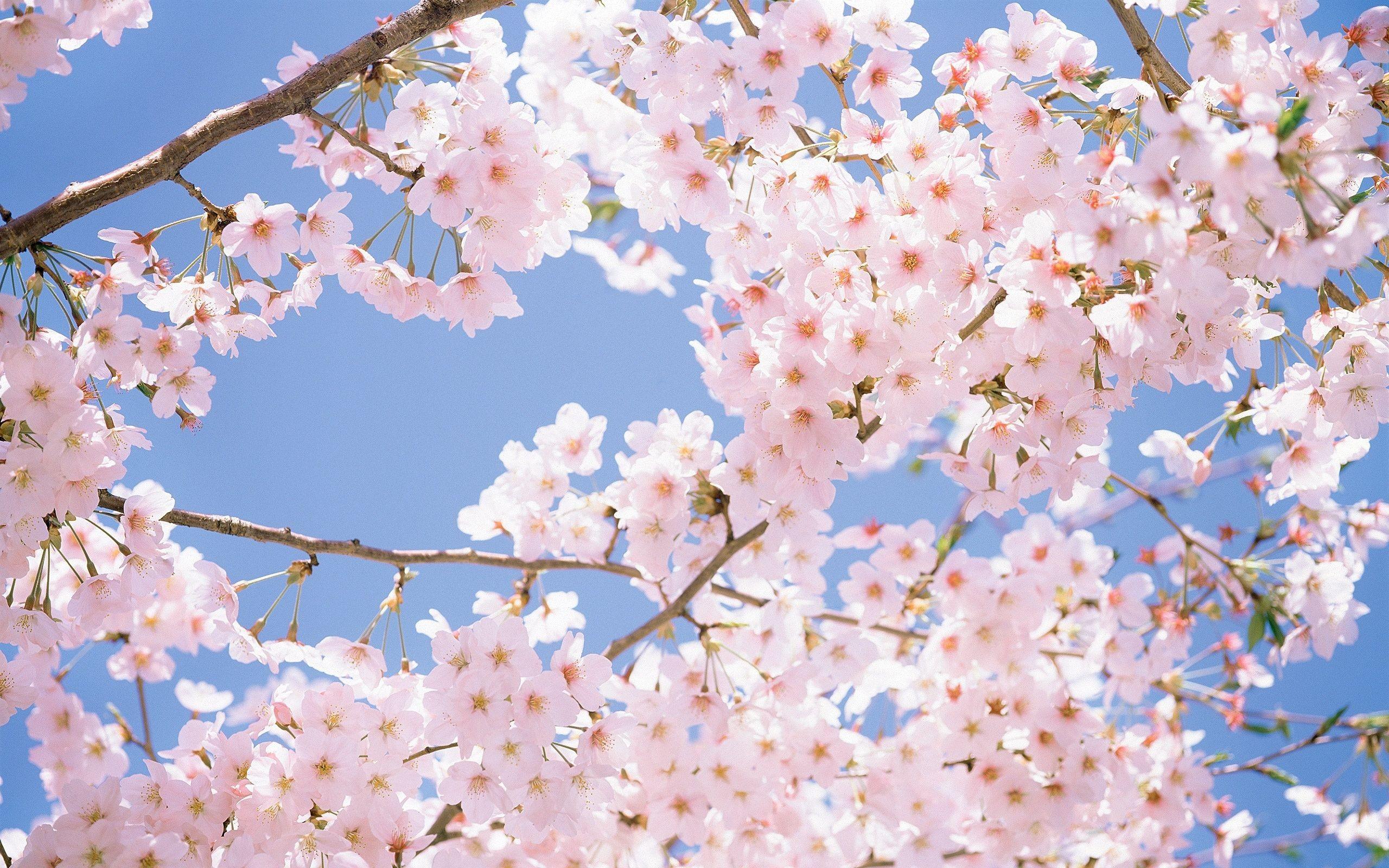 28+ Chery Blossom Wallpaper JPG
